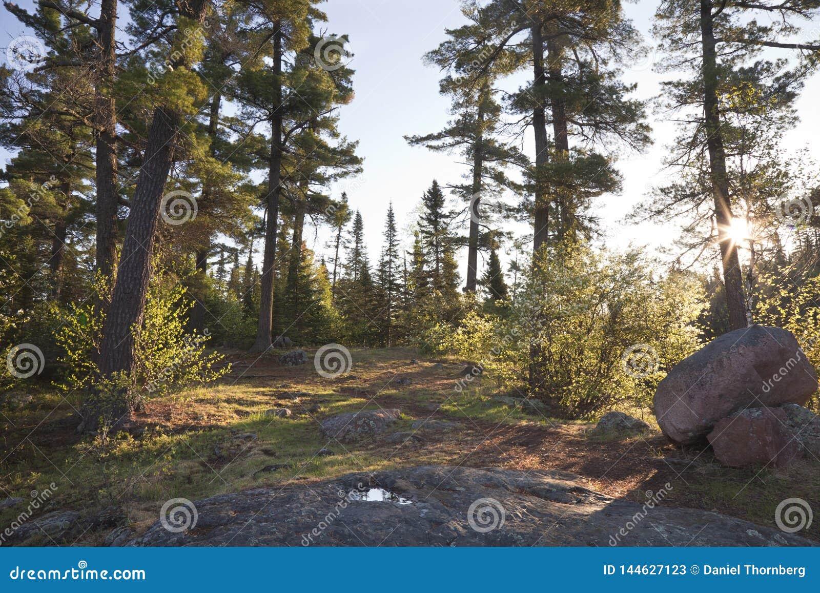 Árboles de pino en el amanecer con las rocas y la trayectoria en Minnesota septentrional