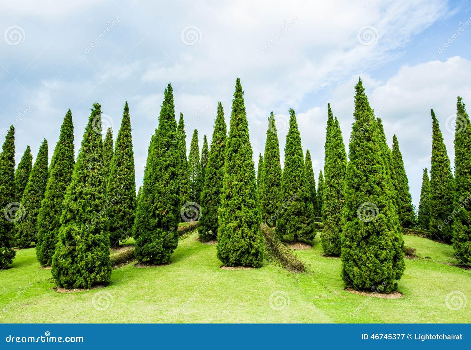 Rboles de pino en el chiangmai real tailandia del jard n for Tipos de pinos para jardin fotos