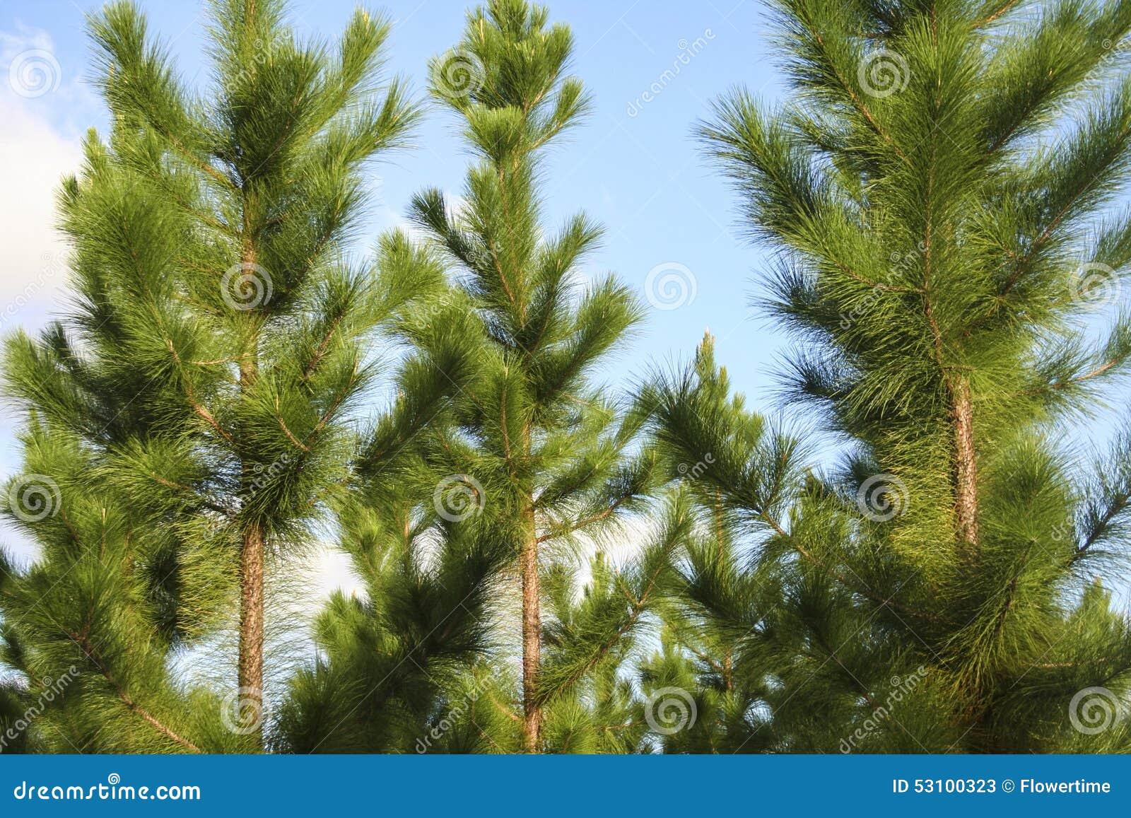 Árboles de pino juveniles