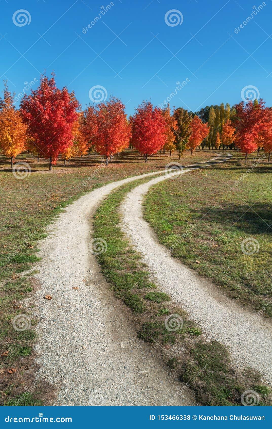 Árboles de un arce preciosos del otoño en un camino de tierra en Roxburgh