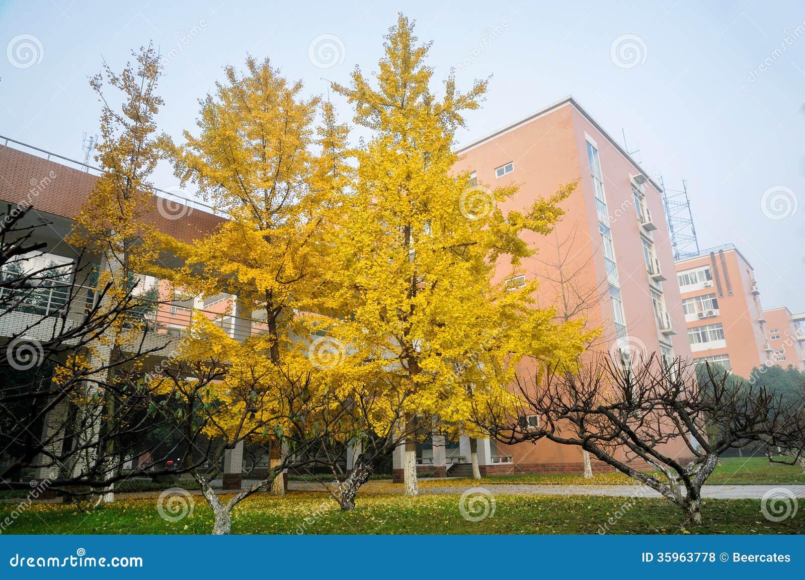 Árboles del Gingko por mañana del invierno