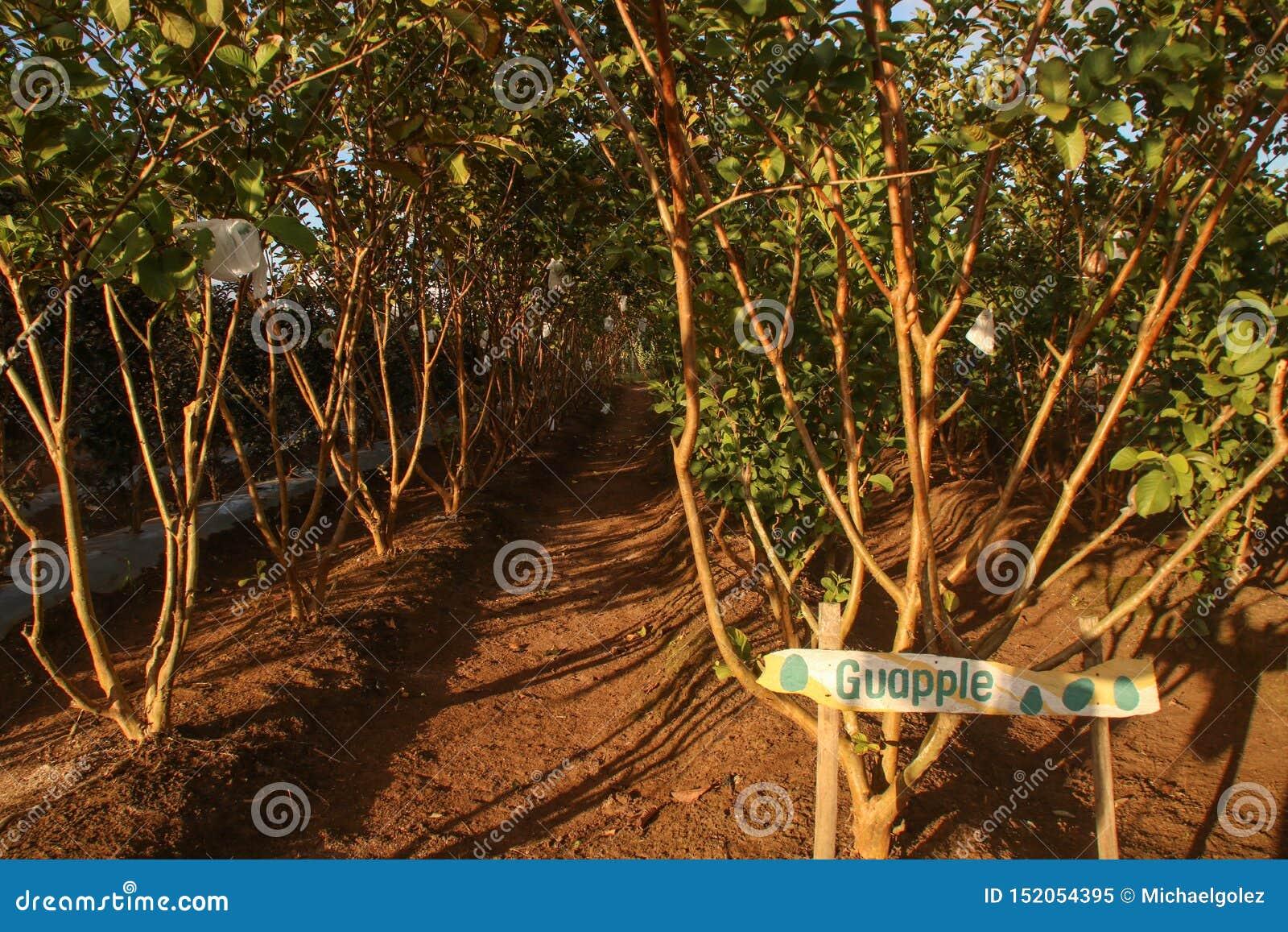 Árboles del guajava L del Psidium o guayaba de Apple y conocido popular como Bayabas en el filipino