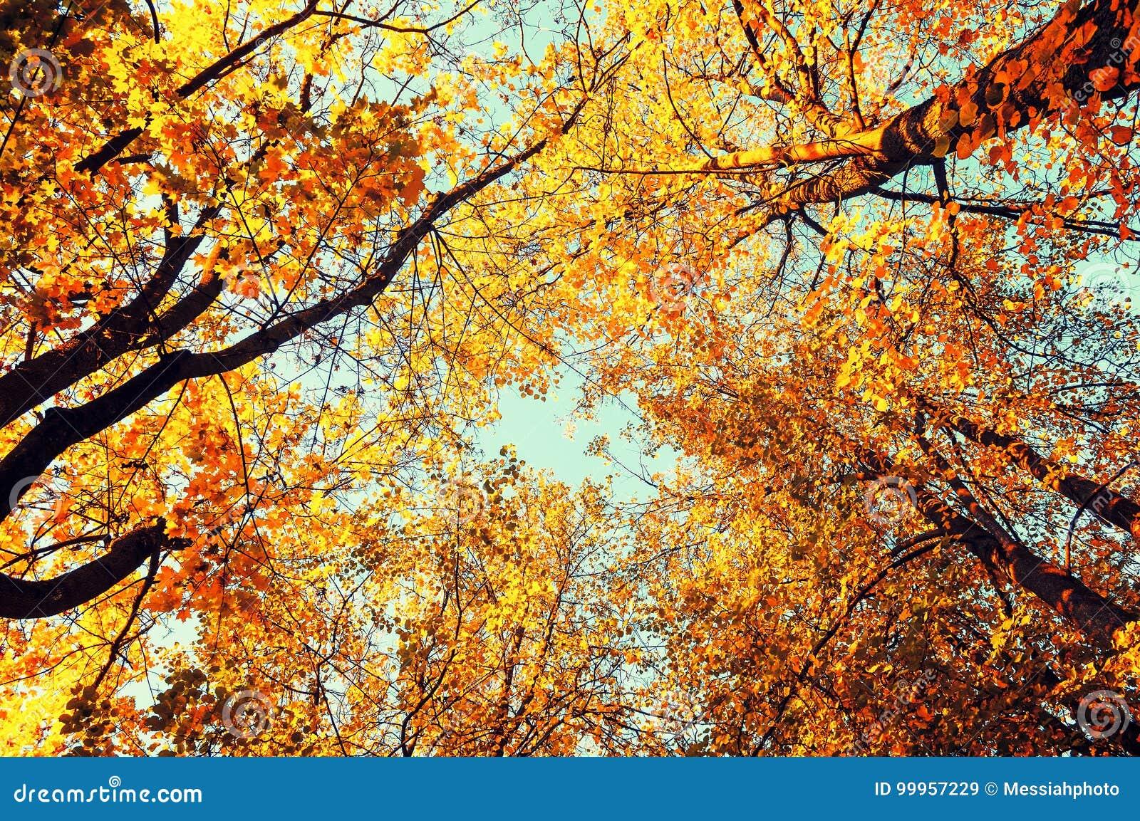 árboles Del Otoño Los árboles Anaranjados Del Otoño Rematan Contra