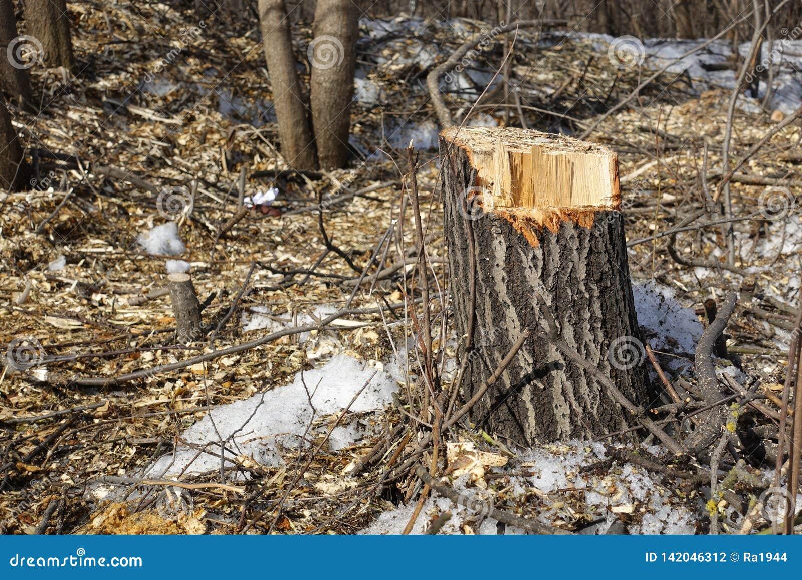 Árboles derribados Pedazos del tocón y de madera El concepto de mala ecología Corte de árboles