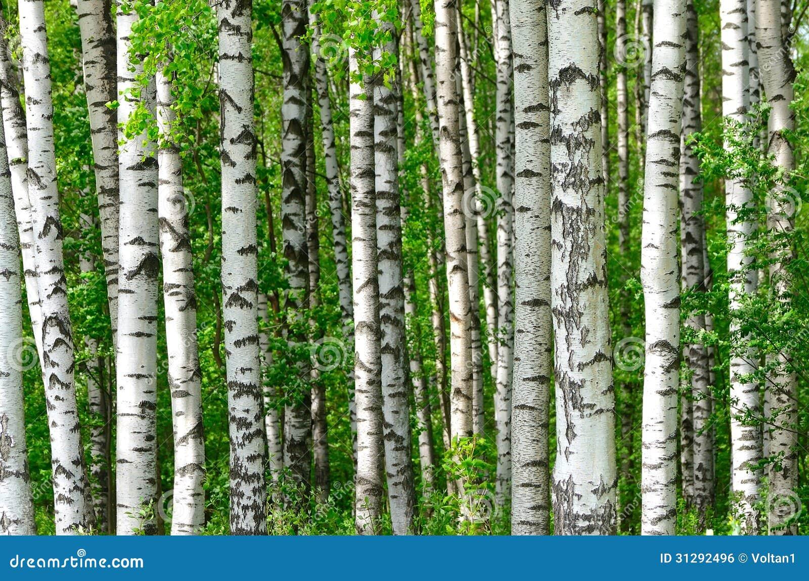 Rboles en la madera de abedul imagen de archivo libre de - Madera de abedul ...