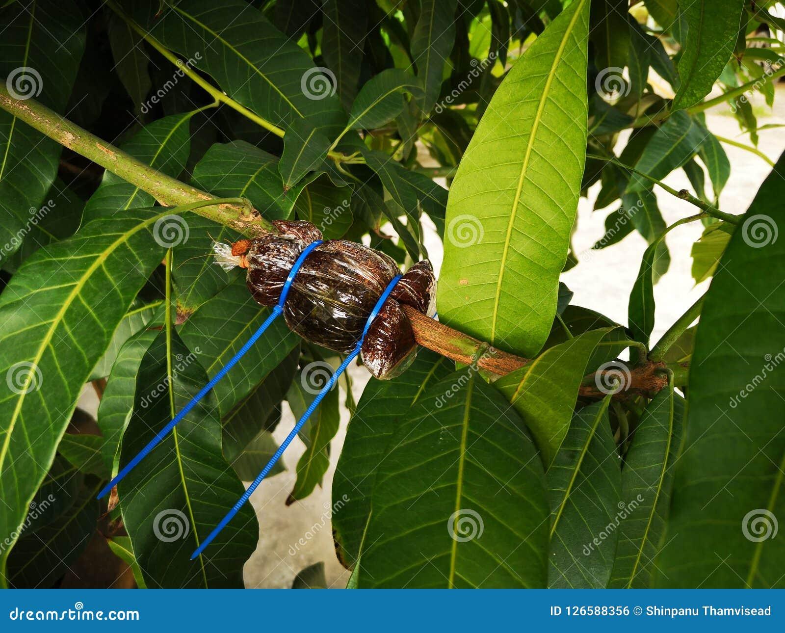 Árboles frutales del aire que acodan en árbol de mango