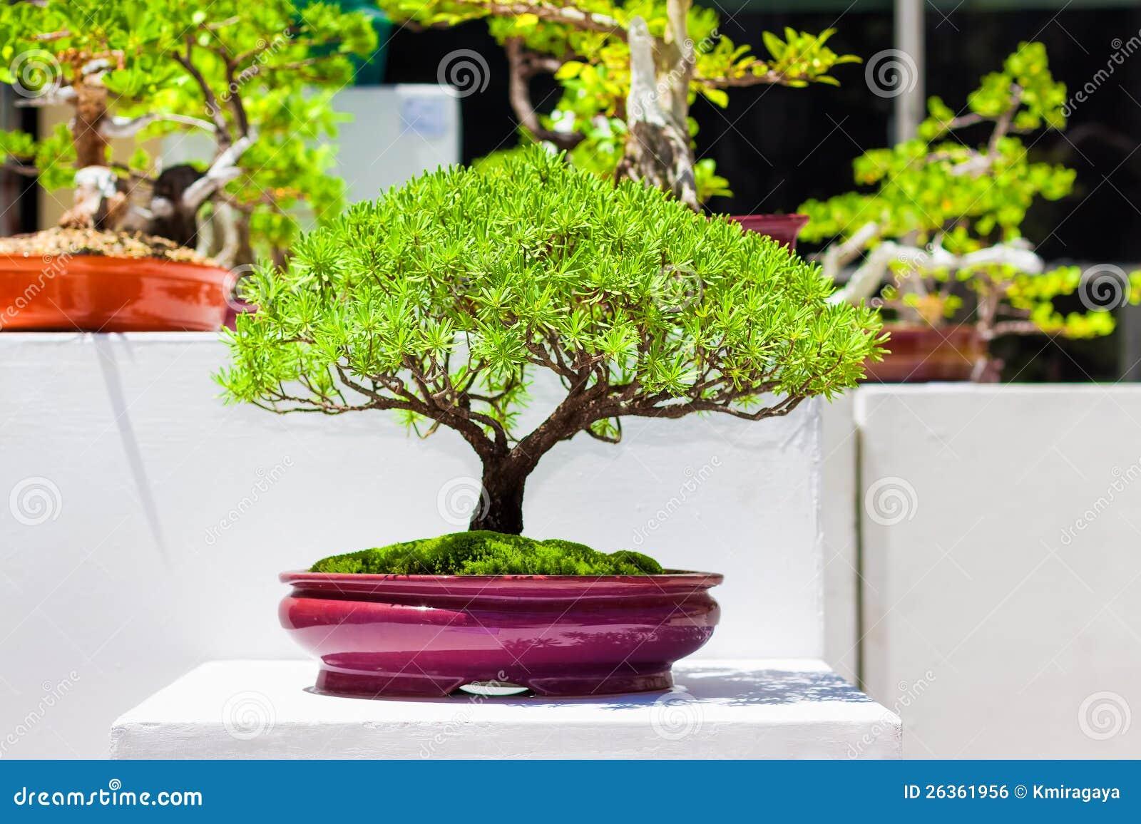 Rboles japoneses de los bonsais imagen de archivo libre for Arboles japoneses para jardin