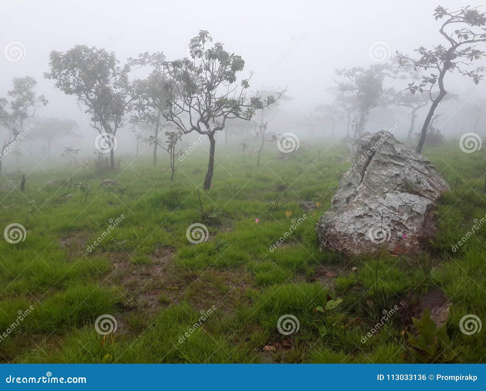 Árboles, prado y Siam Tulip con niebla por mañana