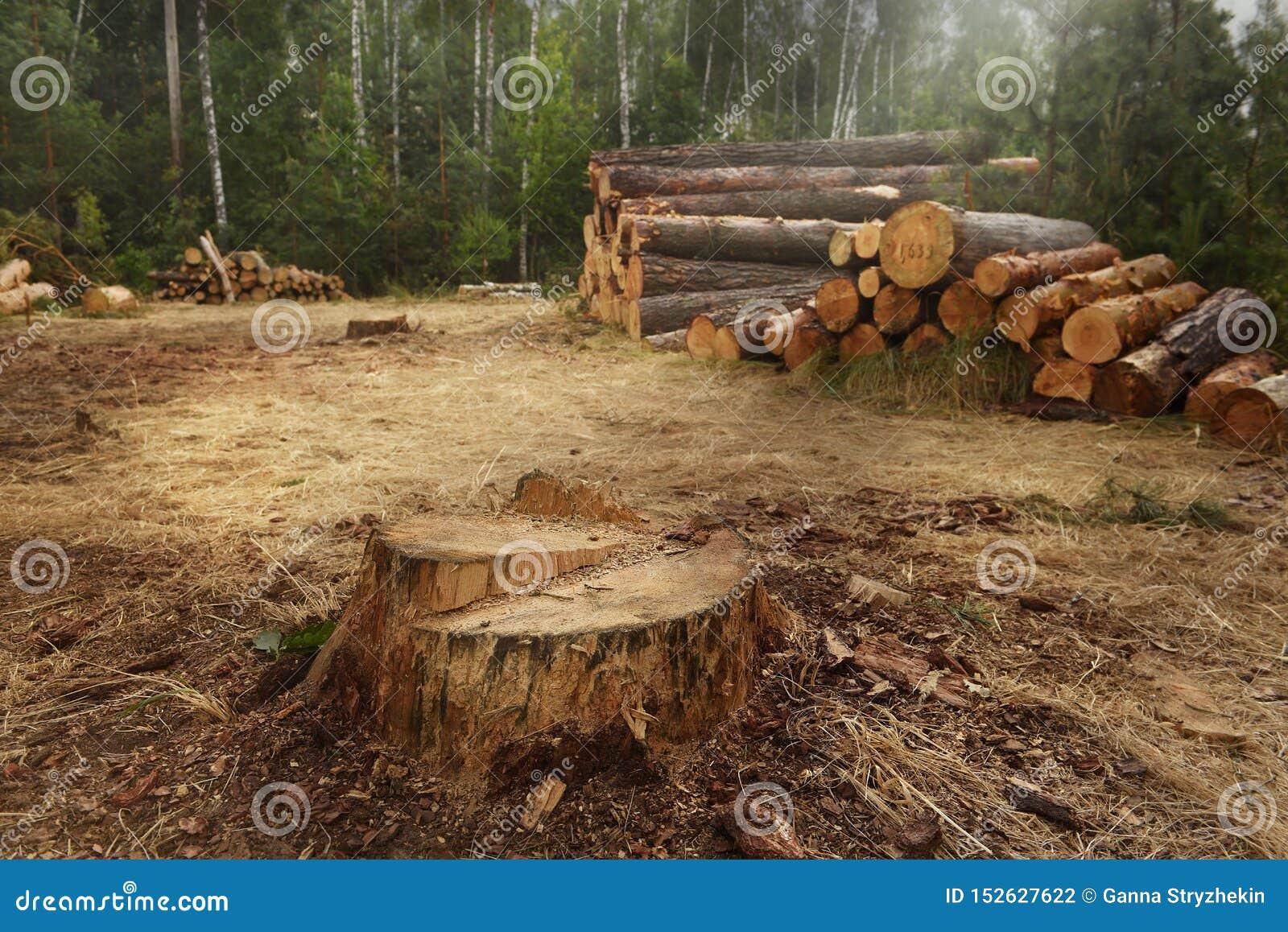 Árboles reducidos en el tocón enorme del bosque A del pino y árboles derribados en el fondo