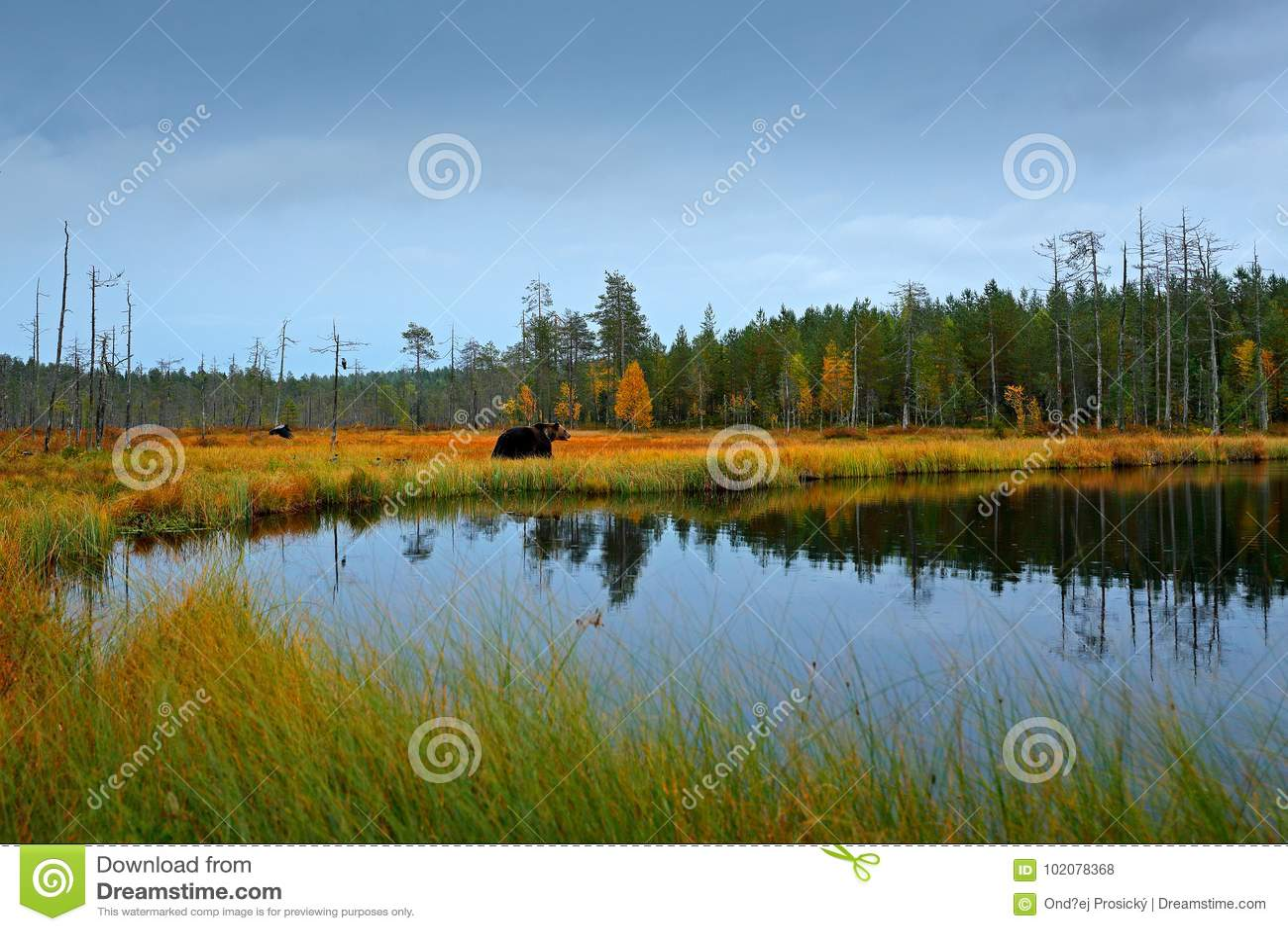 Árboles y lago del otoño con el oso Oso marrón hermoso que camina alrededor del lago con colores de la caída Animal peligroso en