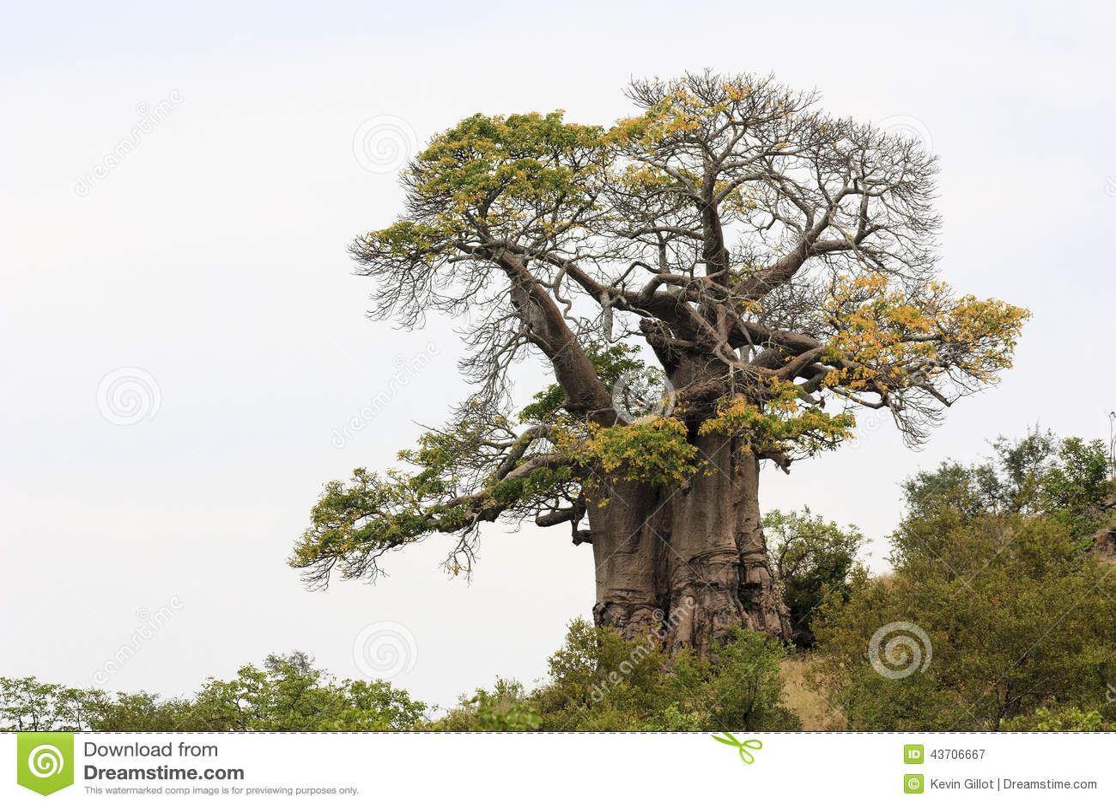 Árvore africana do baobab