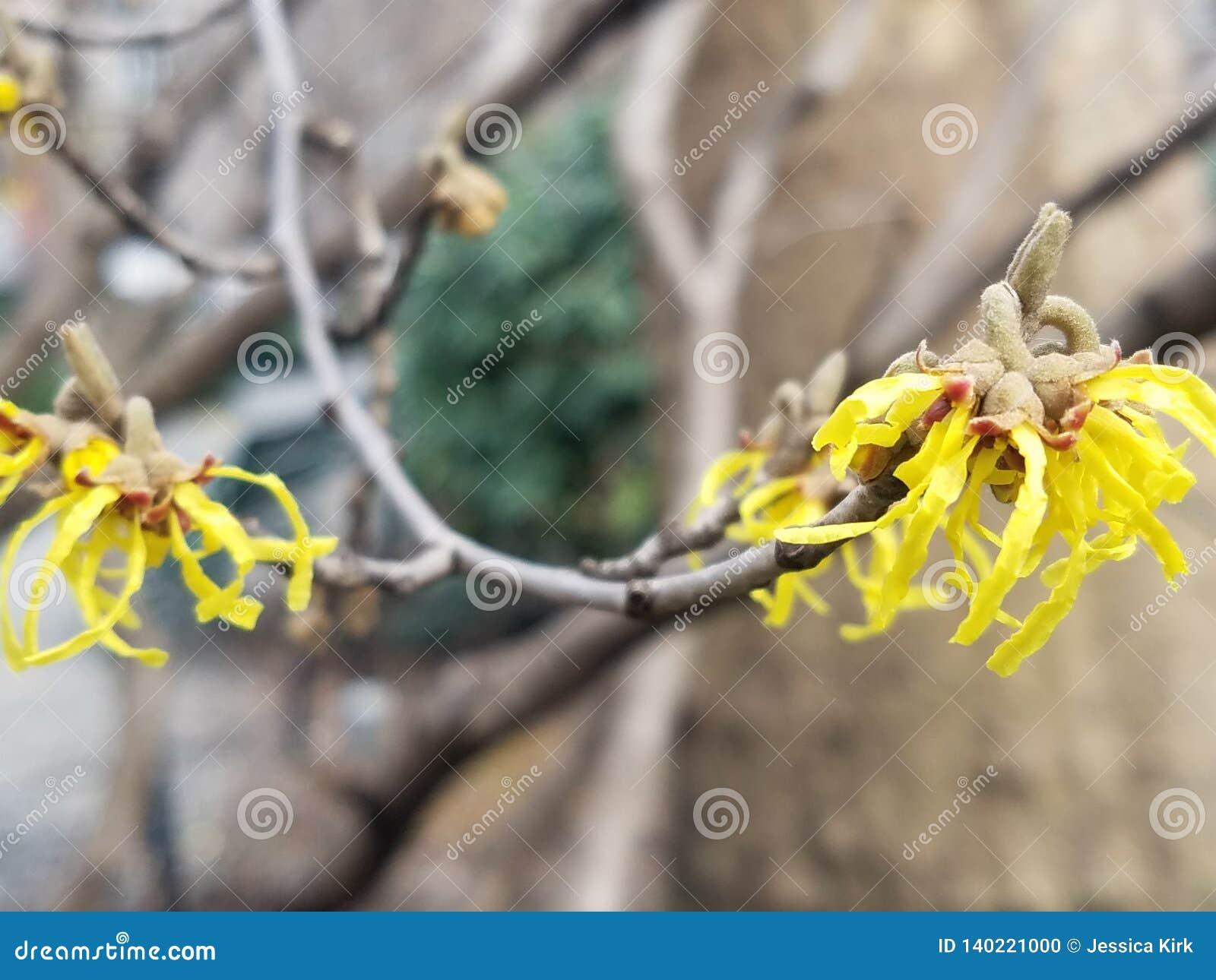 Árvore côr de avelã de bruxa com flores amarelas