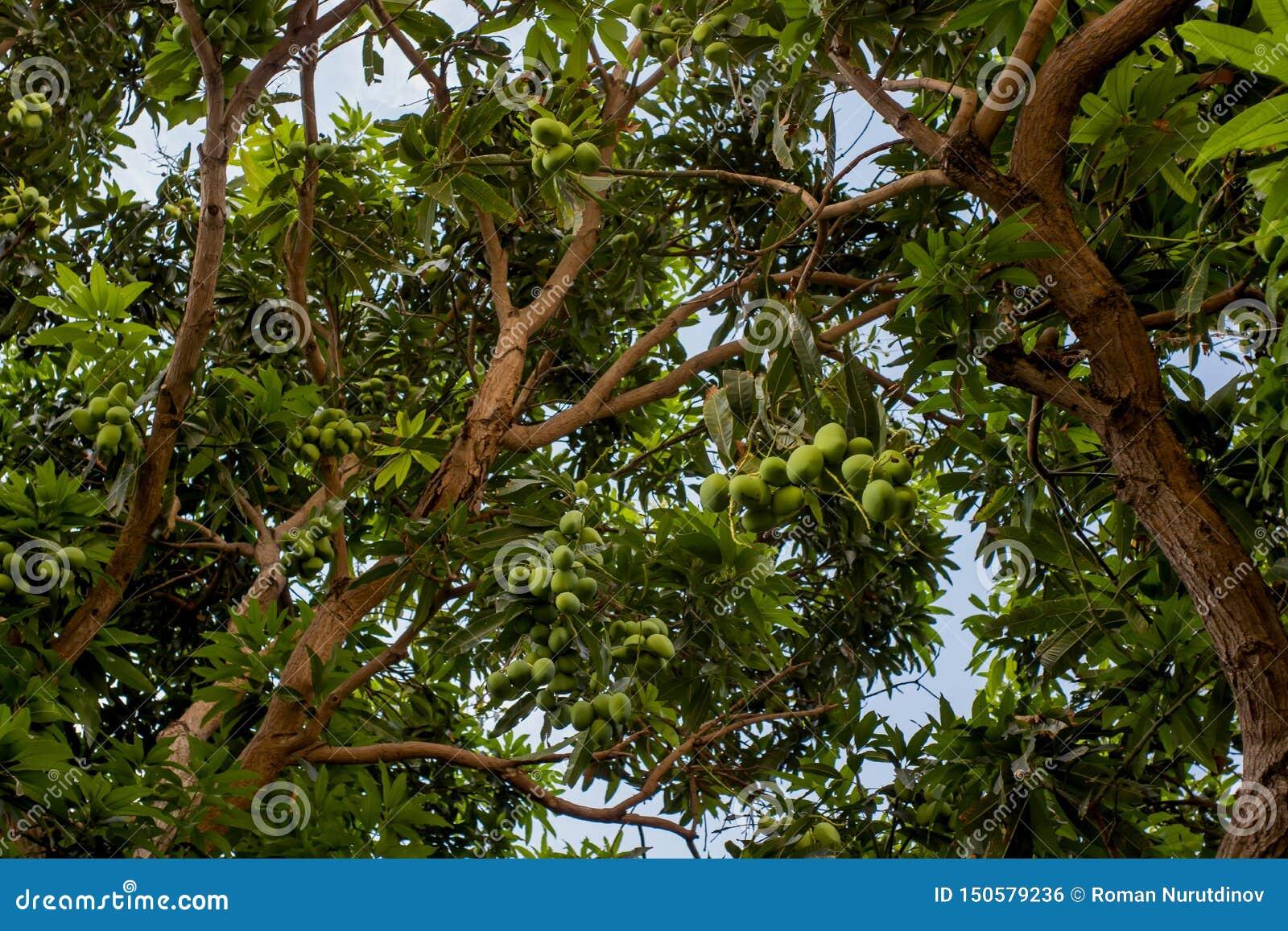 Árvore com frutos verdes da manga
