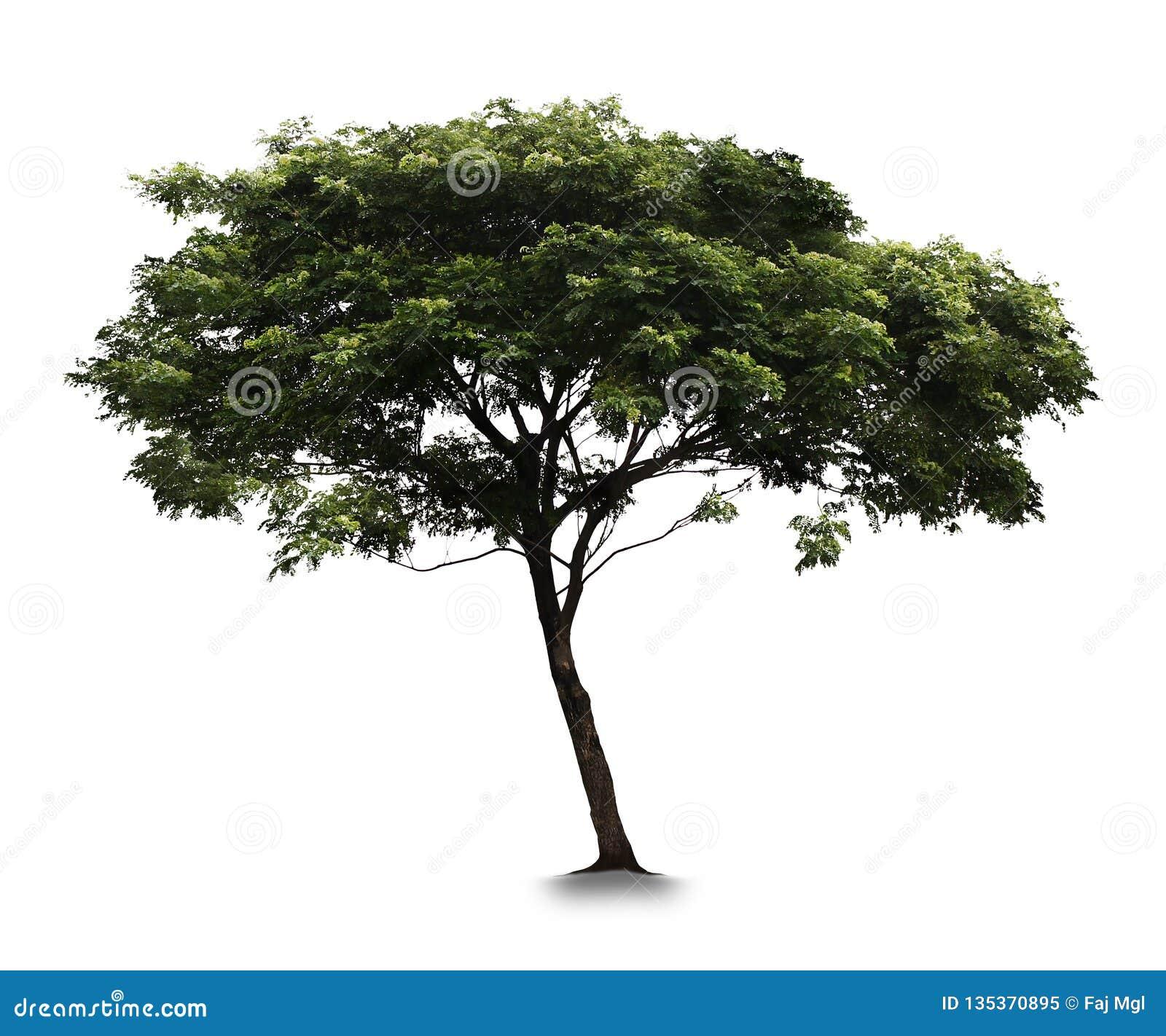 Árvore com fundo branco