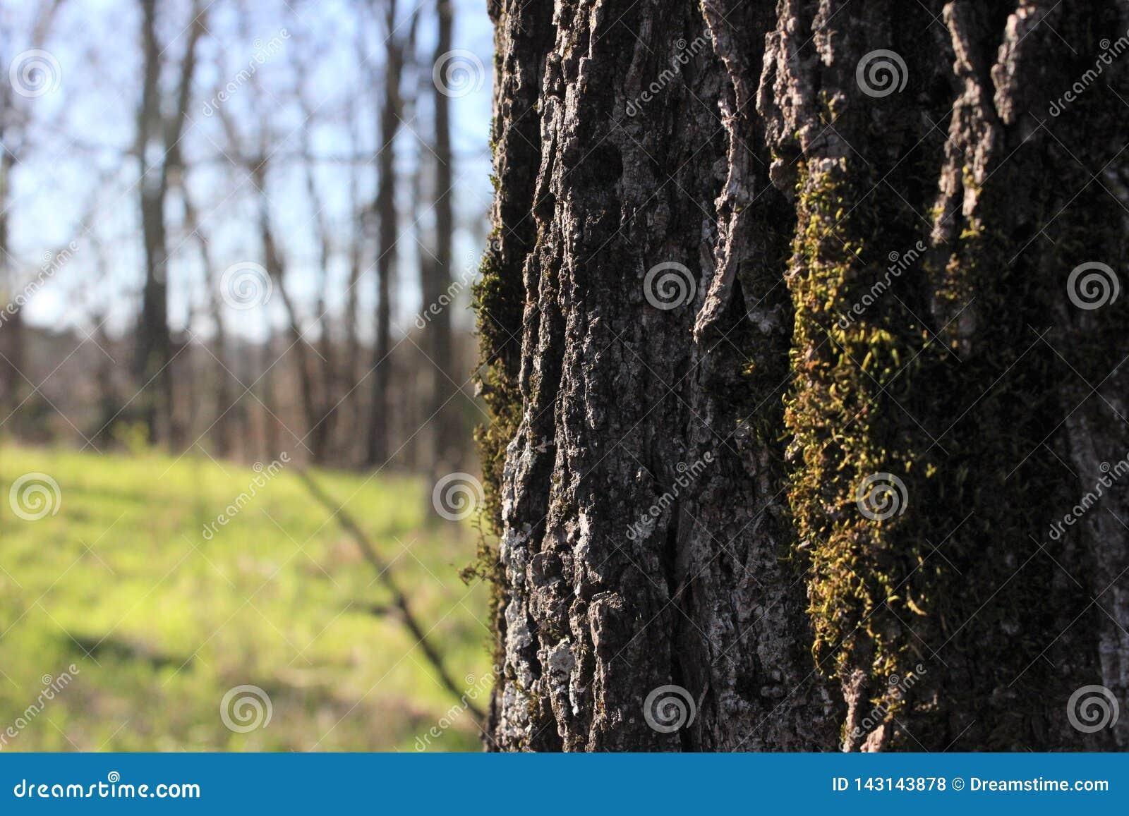 Árvore com Moss Growing na casca