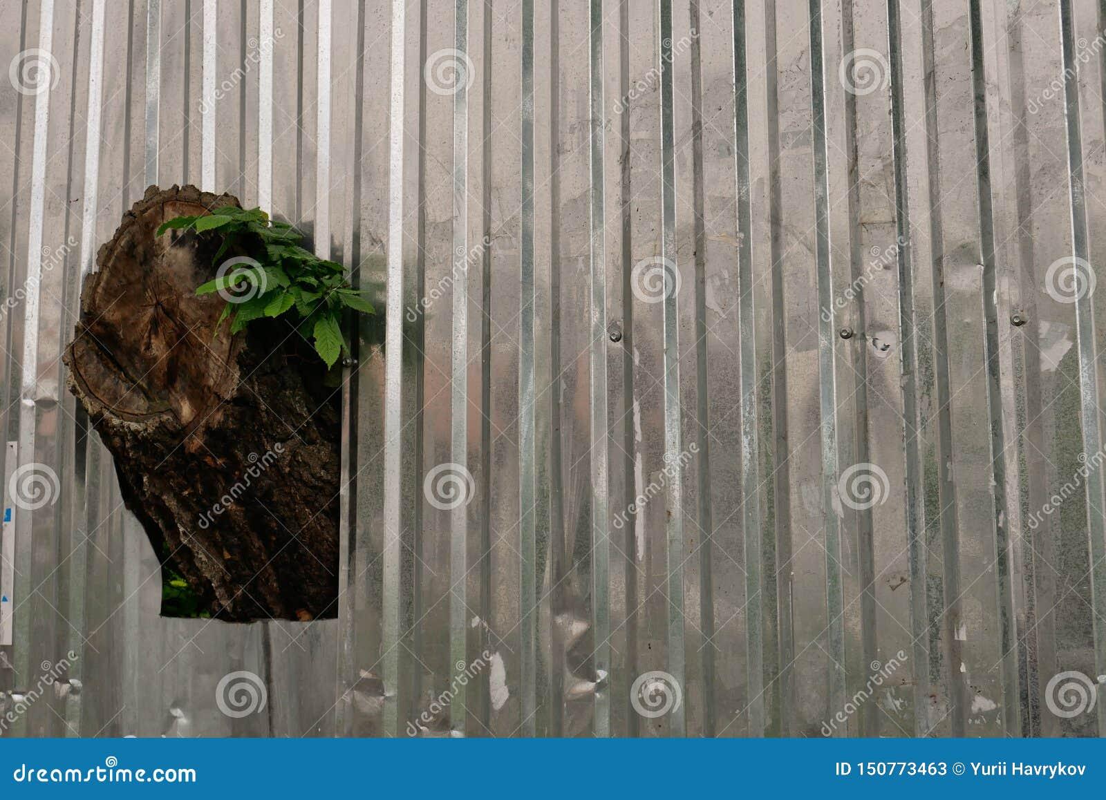 A árvore cresce através da cerca do perfil do metal
