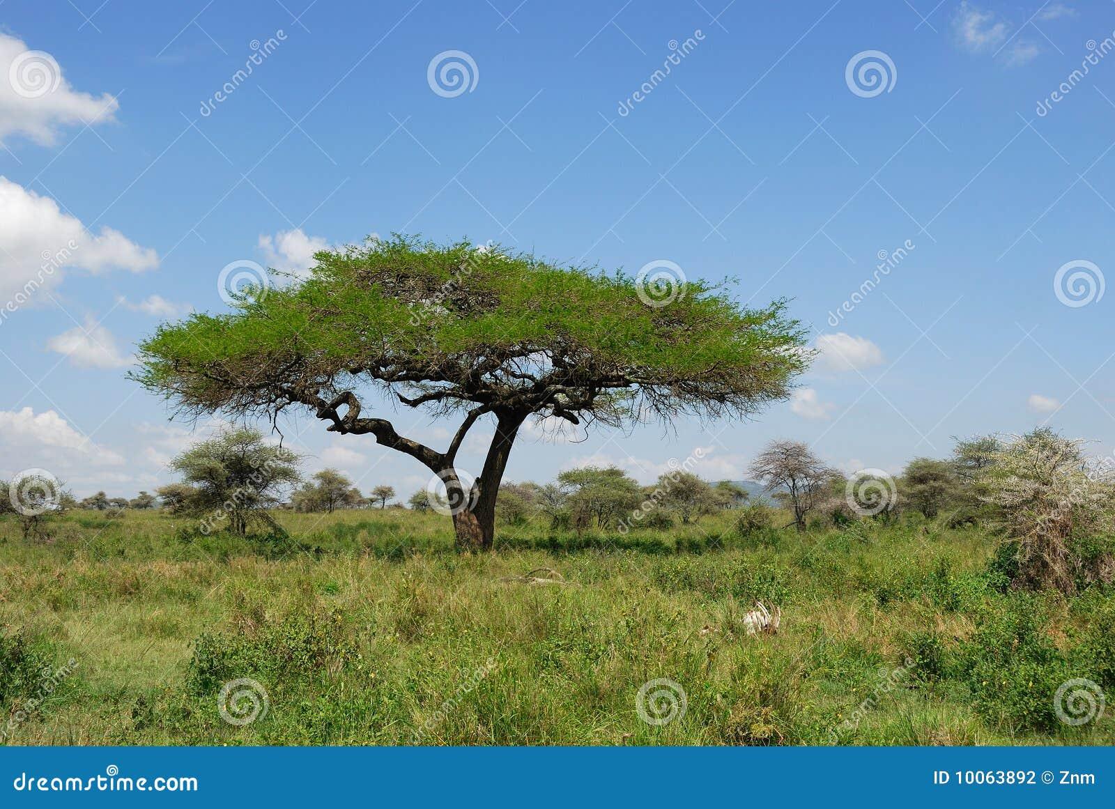 Árvore da acácia do guarda-chuva no savana