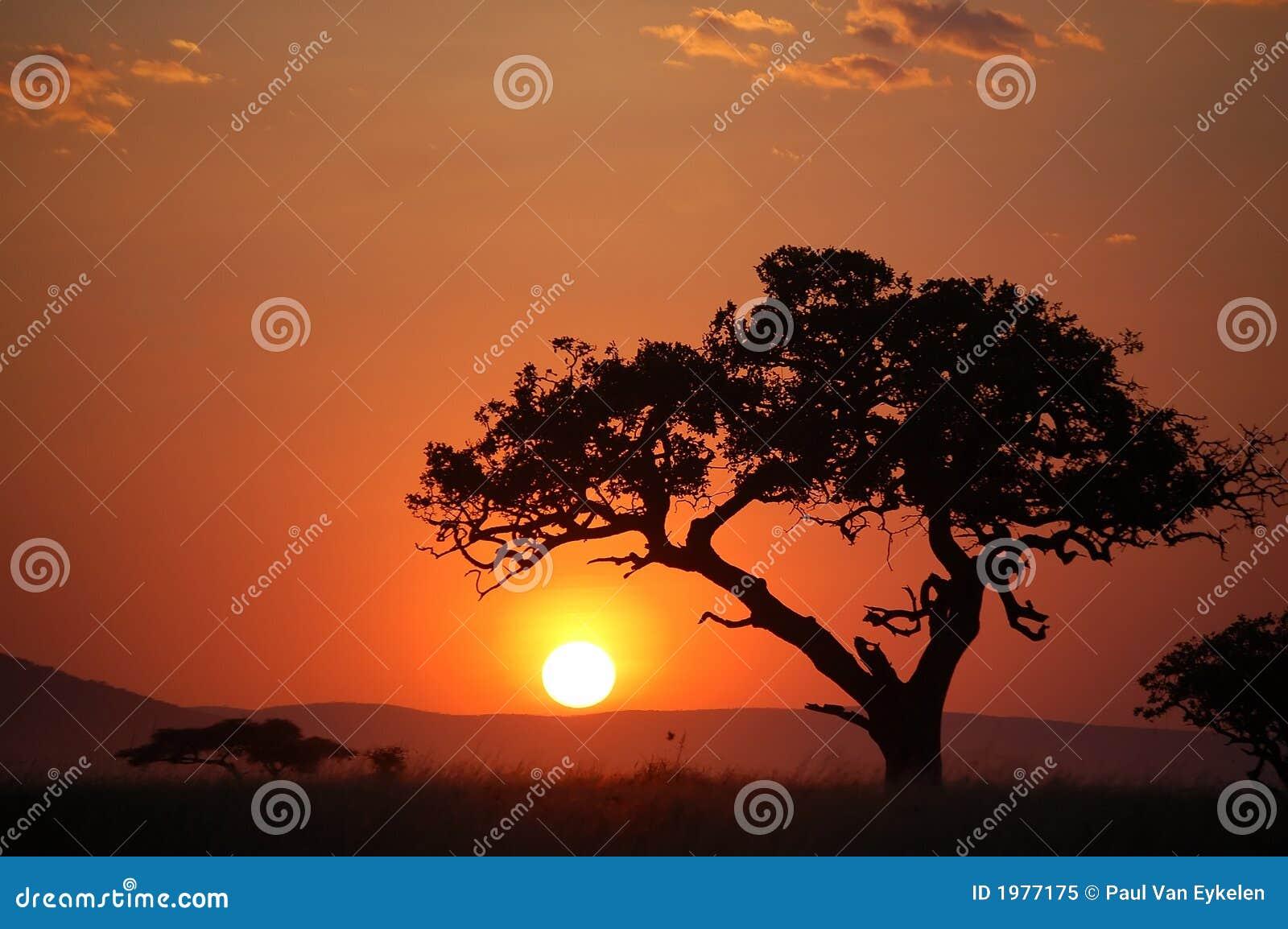 Árvore da acácia no por do sol africano