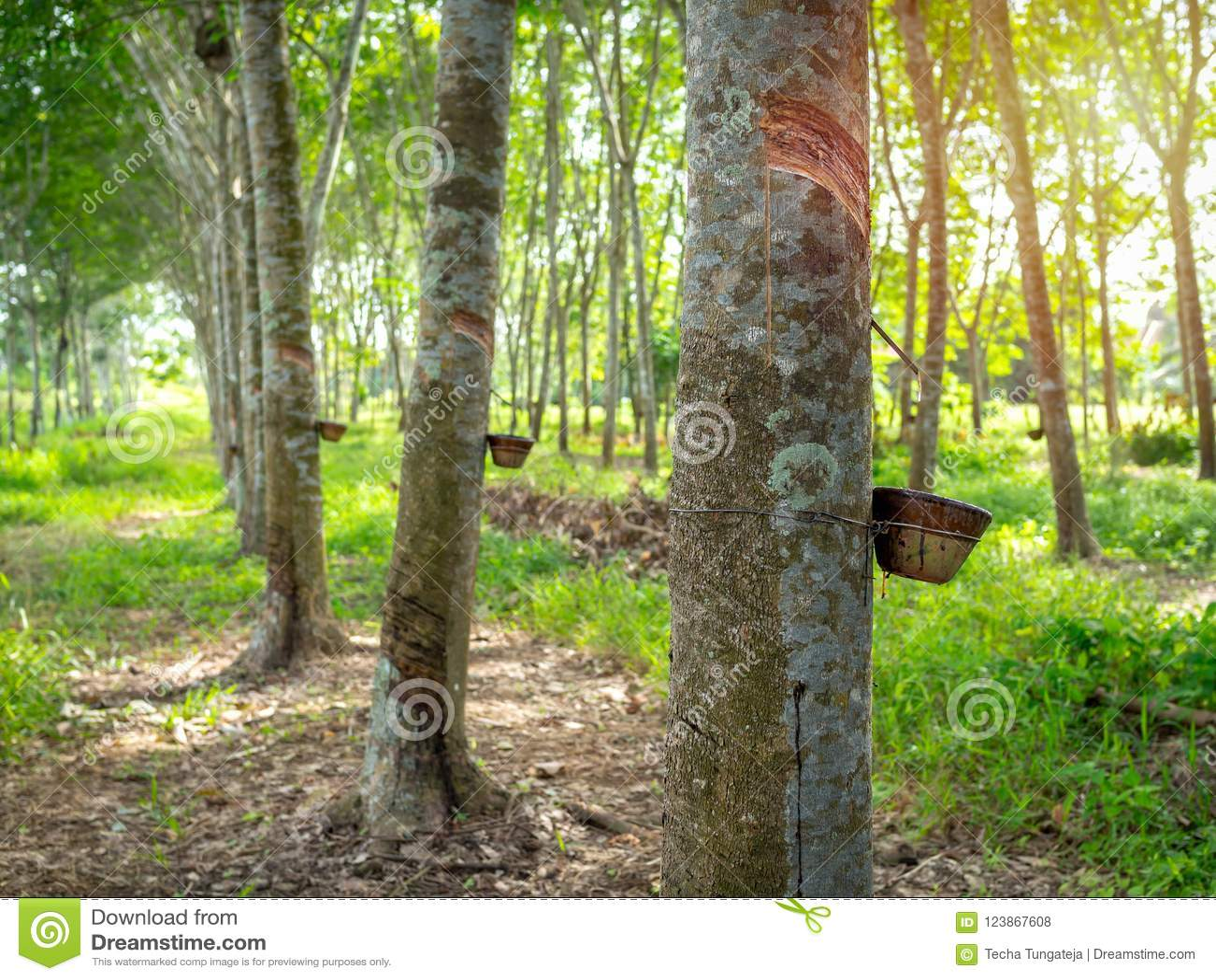 Árvore da borracha