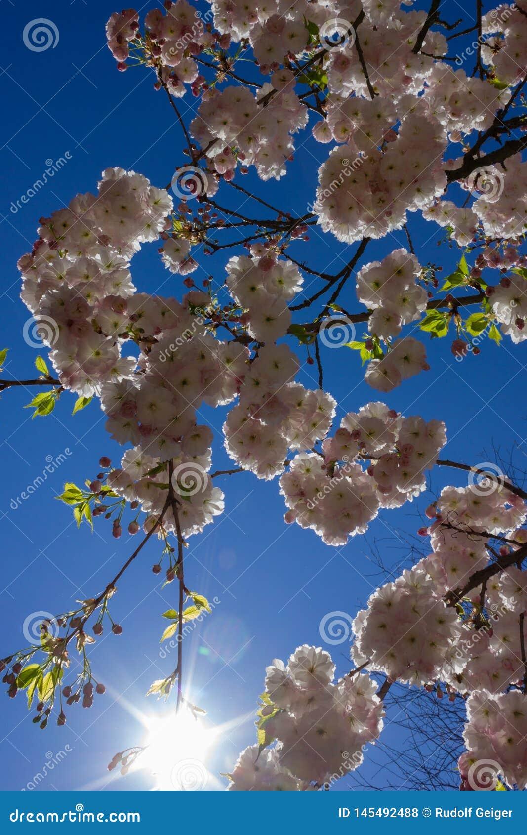 árvore da flor da amêndoa com raios de sol