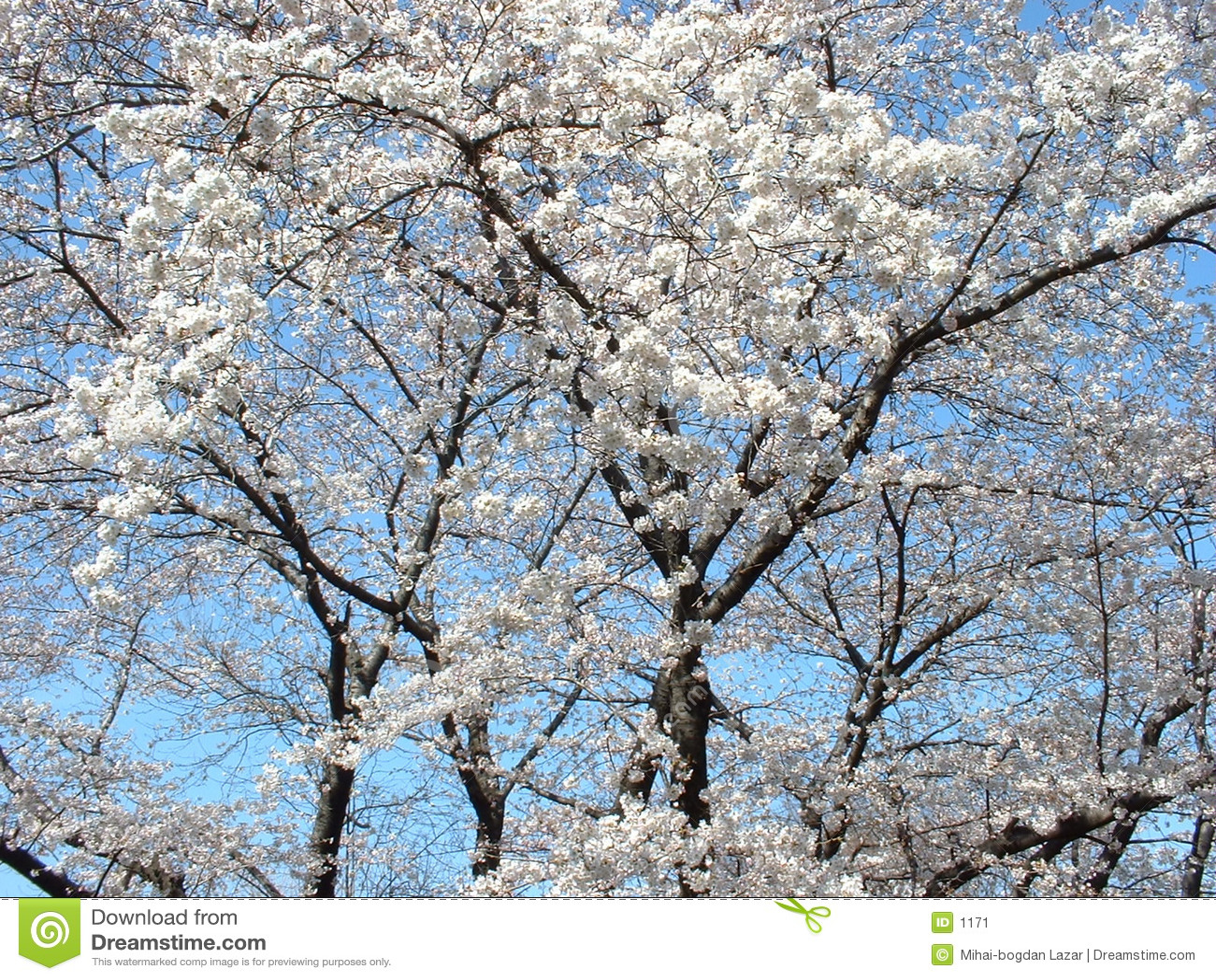 Árvore da flor de cereja