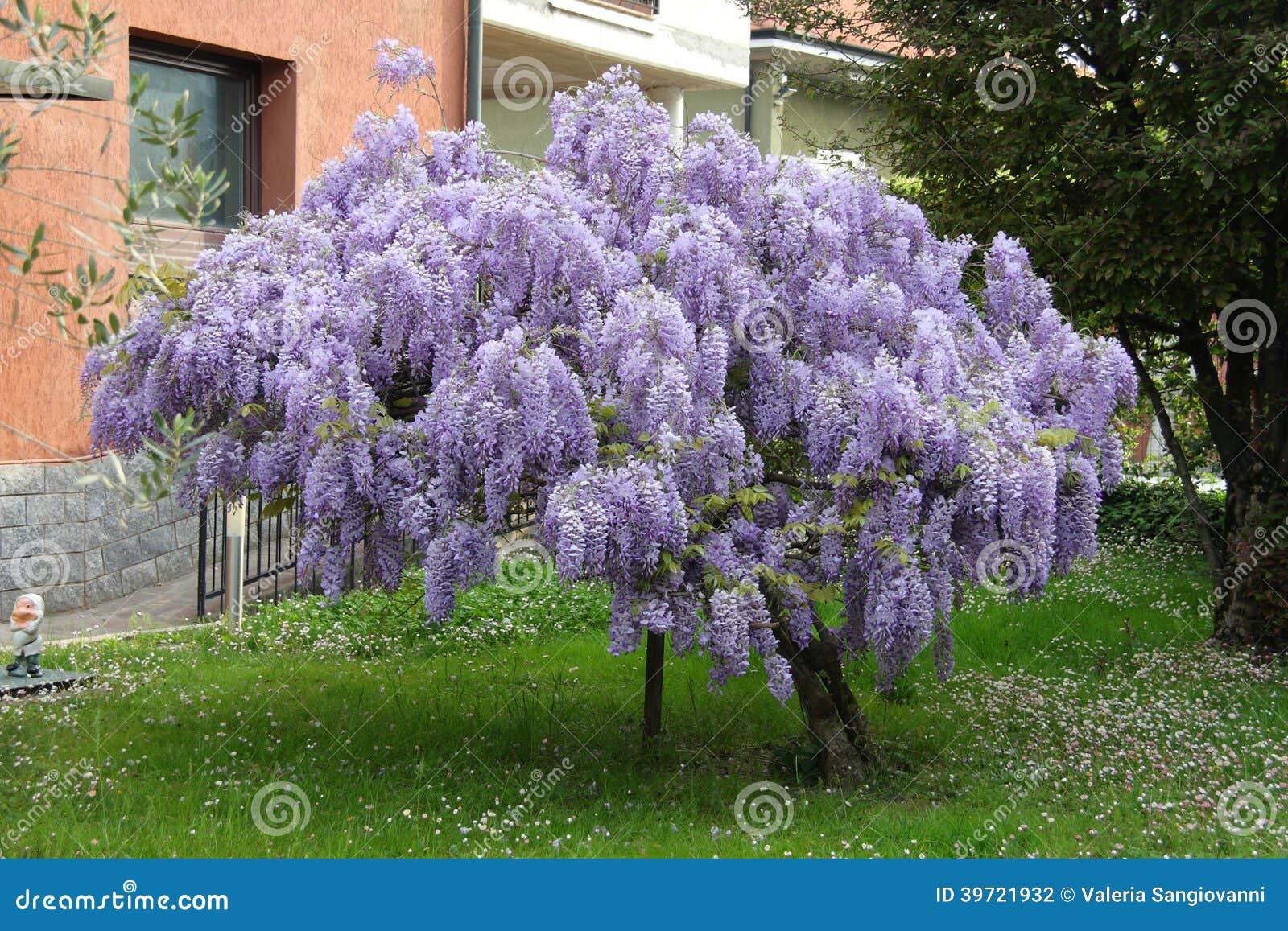 Árvore da glicínia