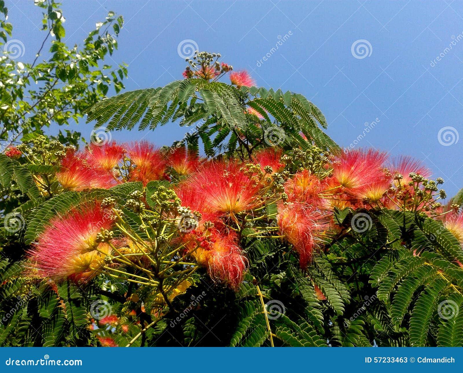foto mimosa da