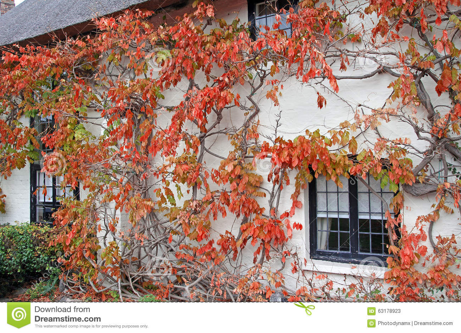 Árvore da videira da casa de campo de Kent