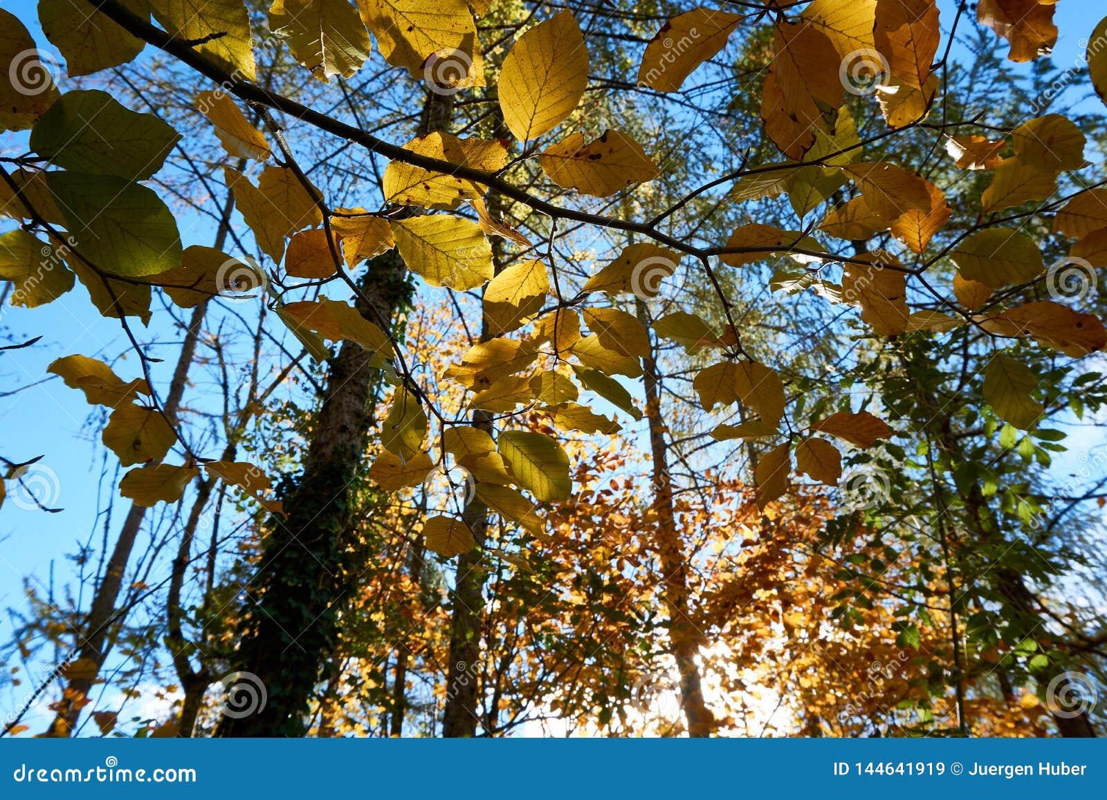 A ?rvore de ?ustria da paisagem do outono sae do fundo do c?u