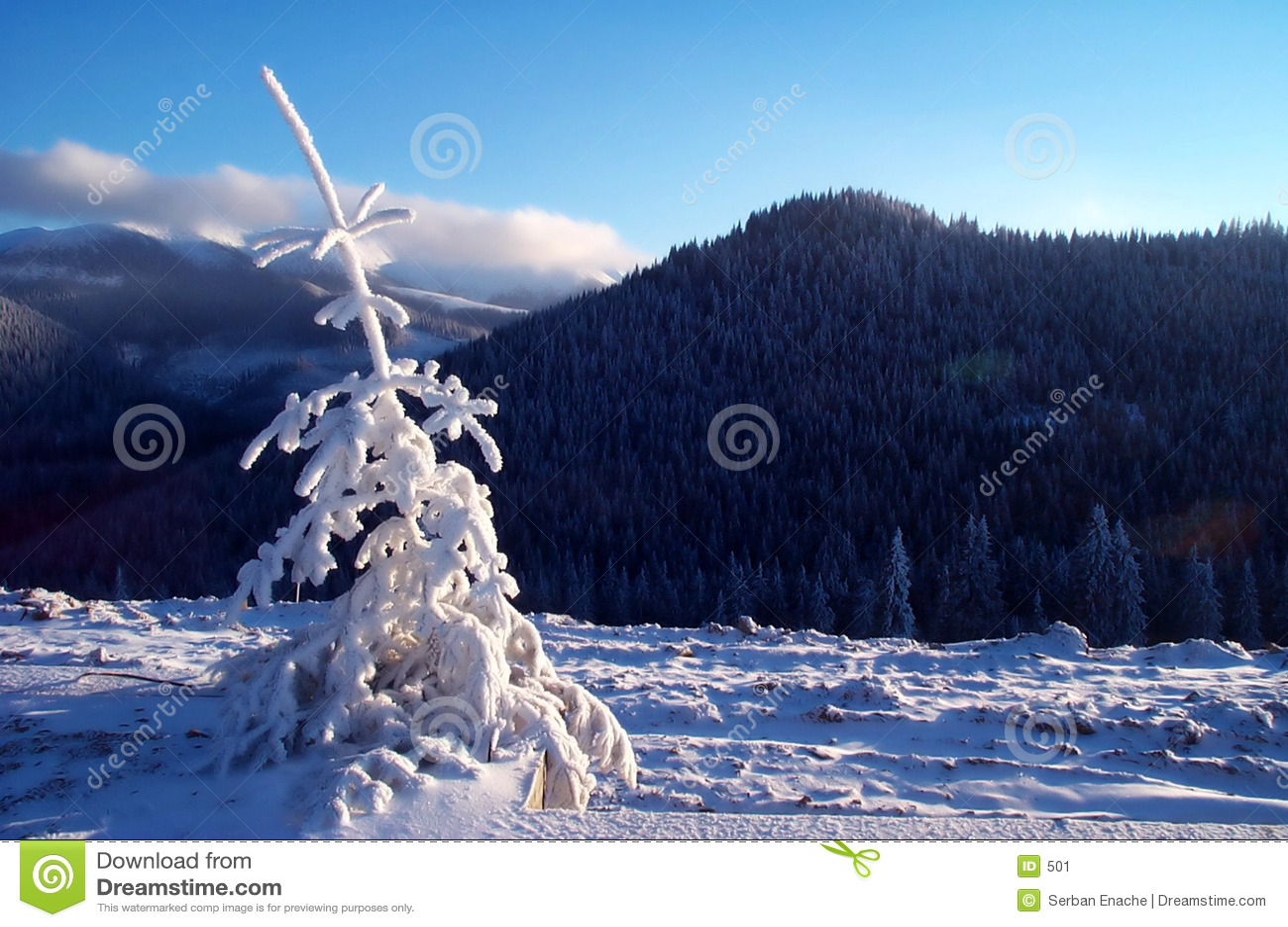 Árvore de abeto branco fresca na luz morna