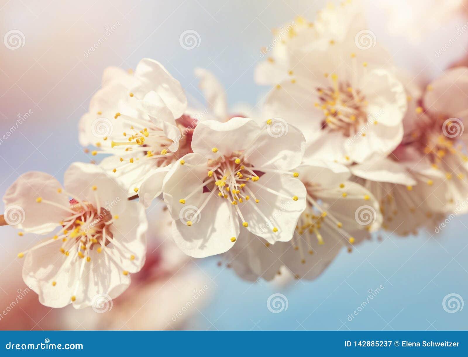Árvore de abricó de florescência