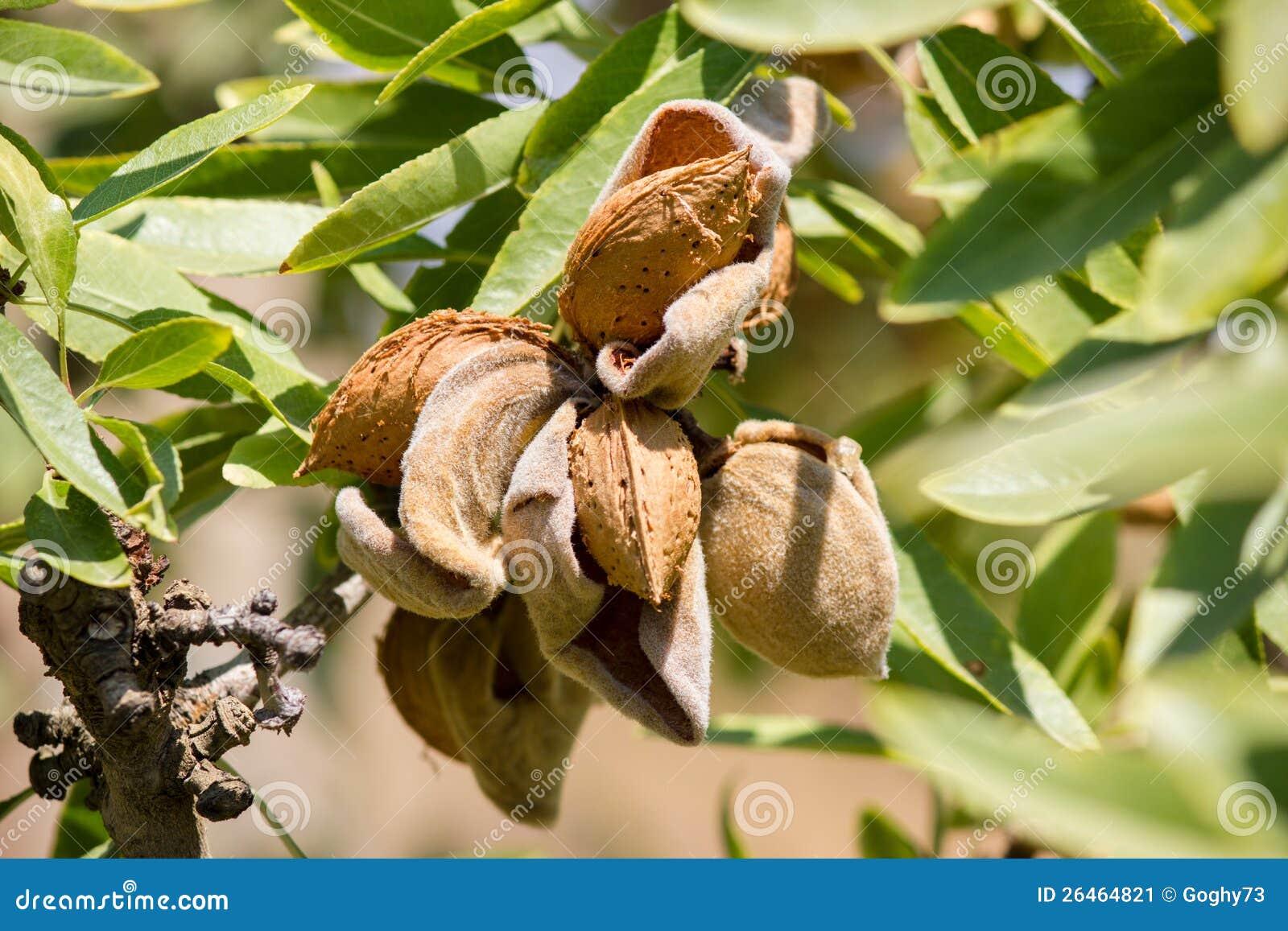 árvore de amêndoa