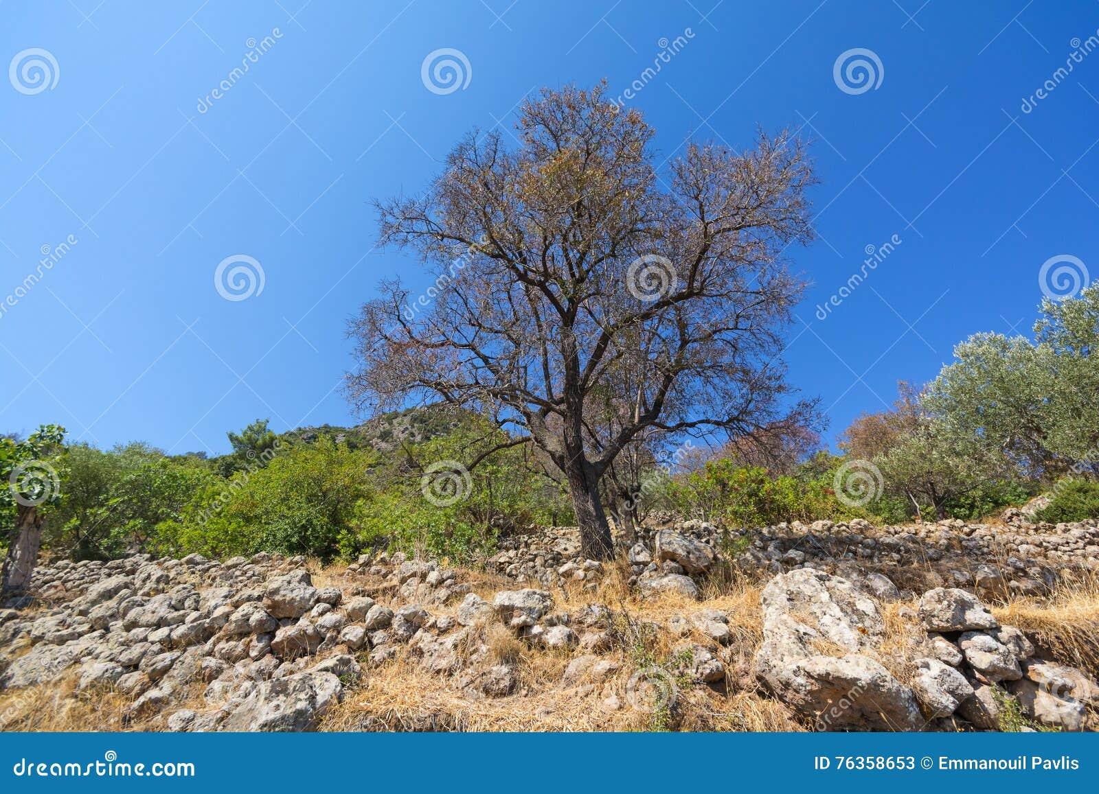 Árvore de amêndoa velha