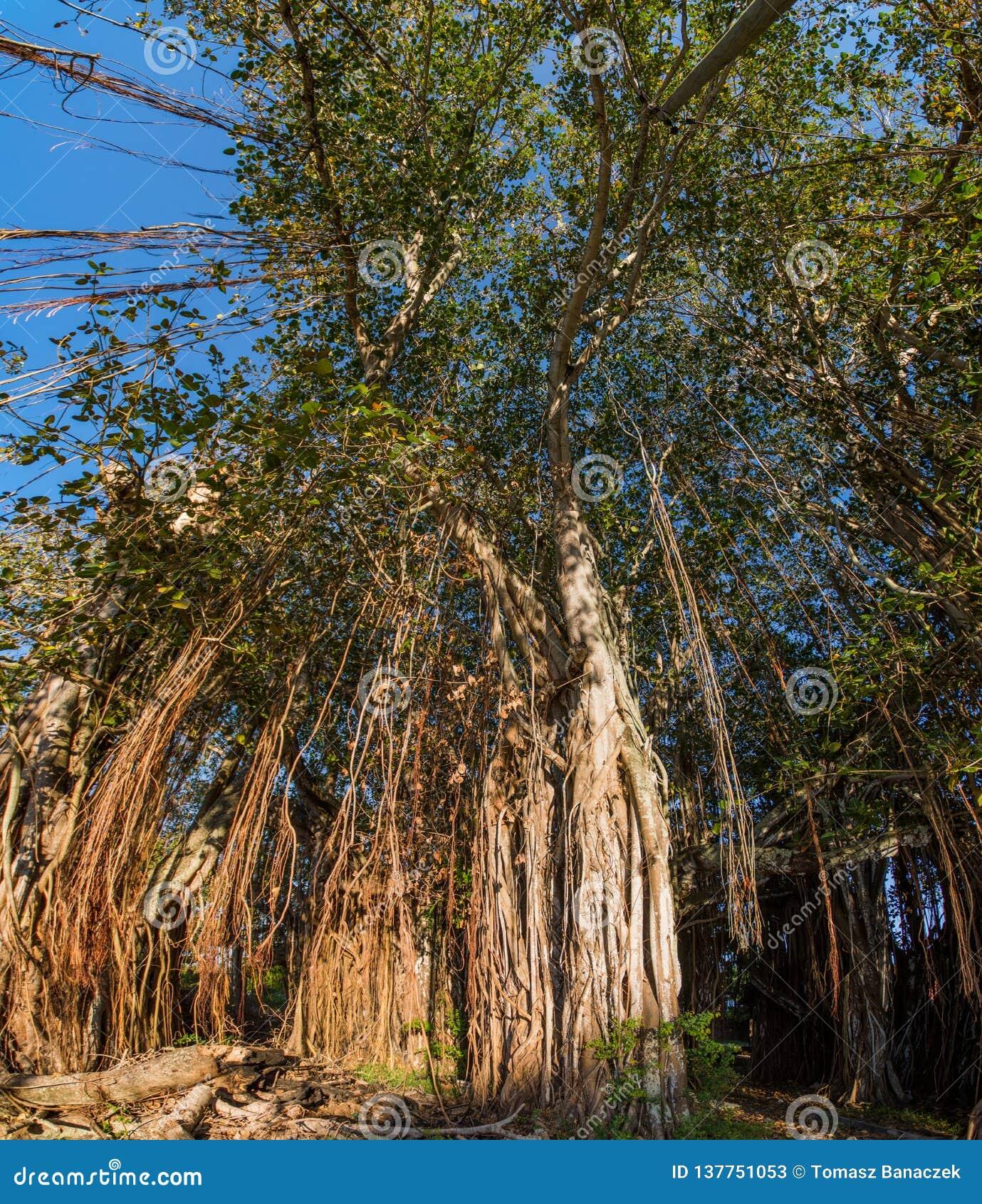 Árvore de Banyan no tampão Malheureux, Maurícias