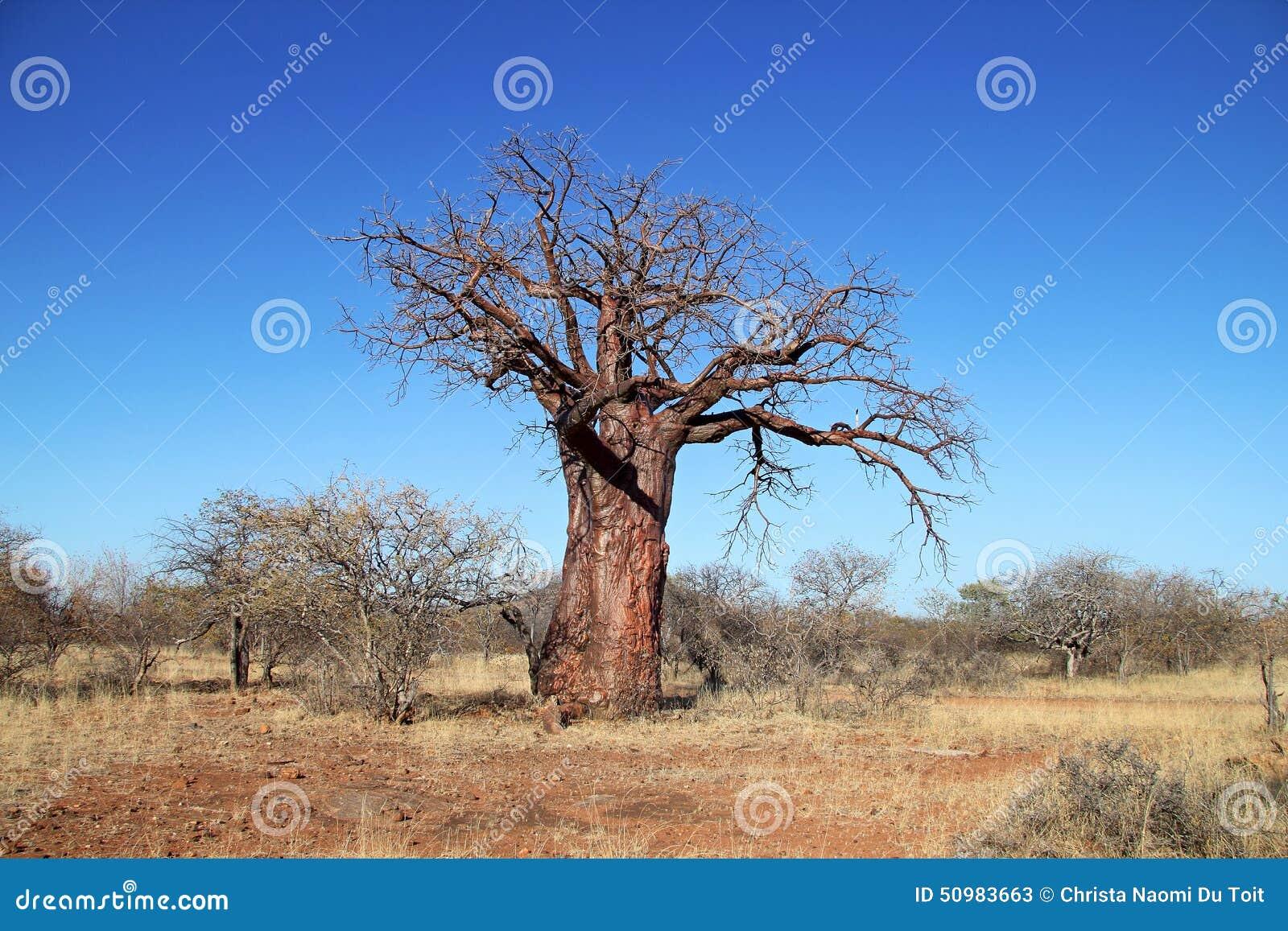 Árvore de Baoba