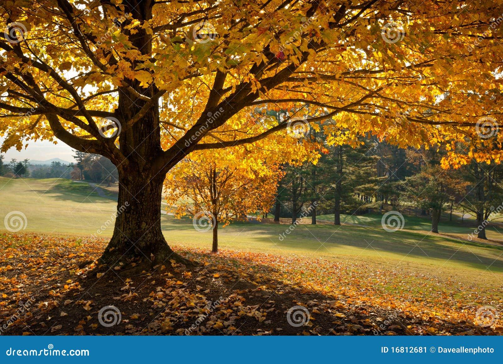 Árvore de bordo dourada do amarelo do outono da folha de queda