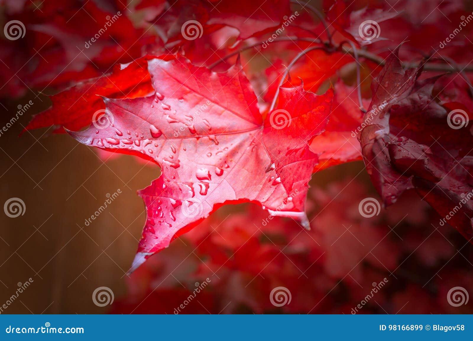 A árvore de bordo vermelha da queda sae do fundo