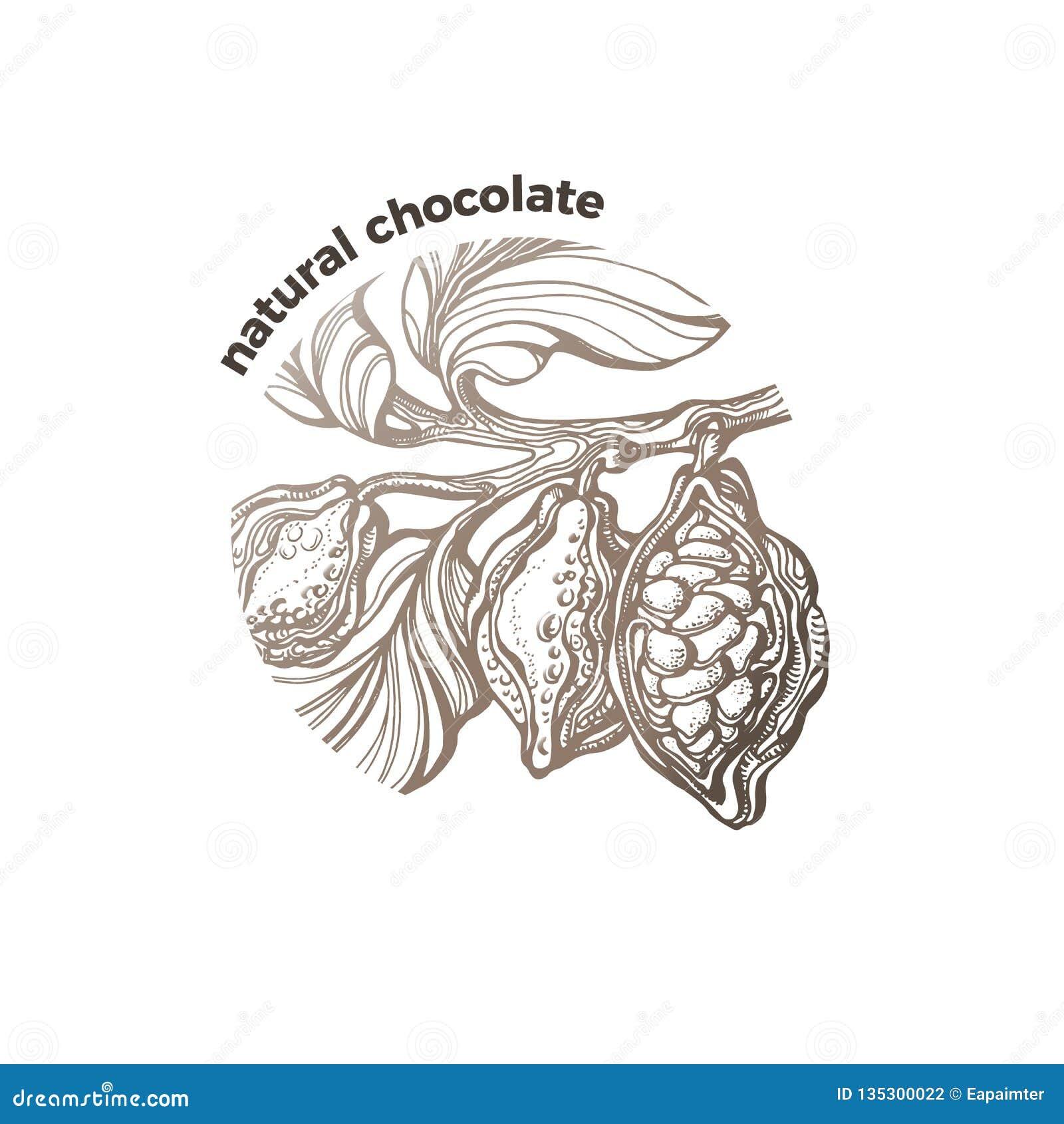 Árvore de cacau tropical do símbolo do vetor, feijão do chocolate, bio etiqueta do fruto