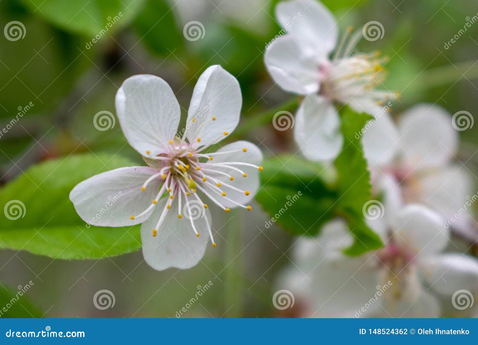 Árvore de cereja com flores e folhas do greeb
