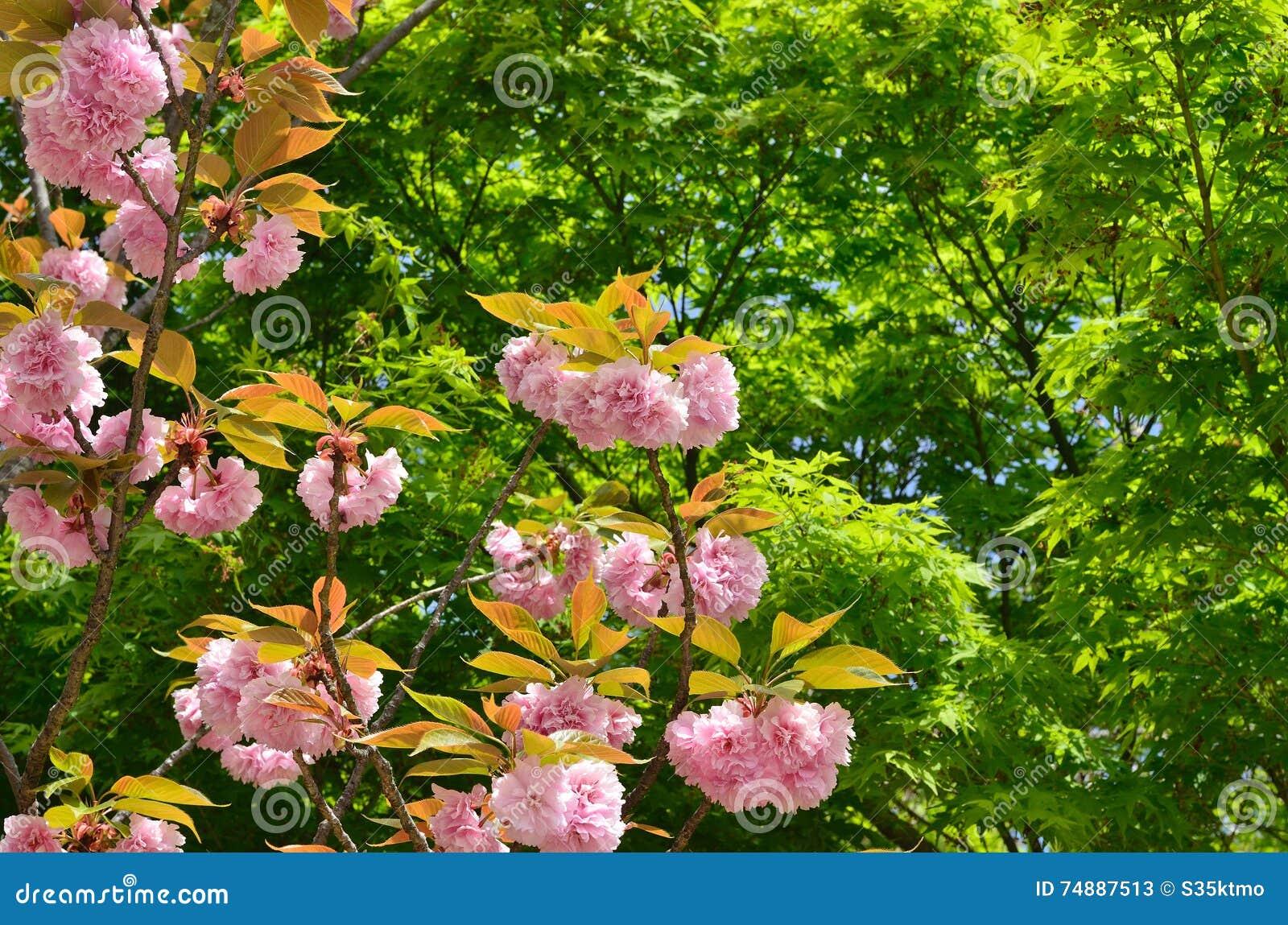 árvore de cereja Dobro-florescida no templo de Ninnaji, Kyoto Japão