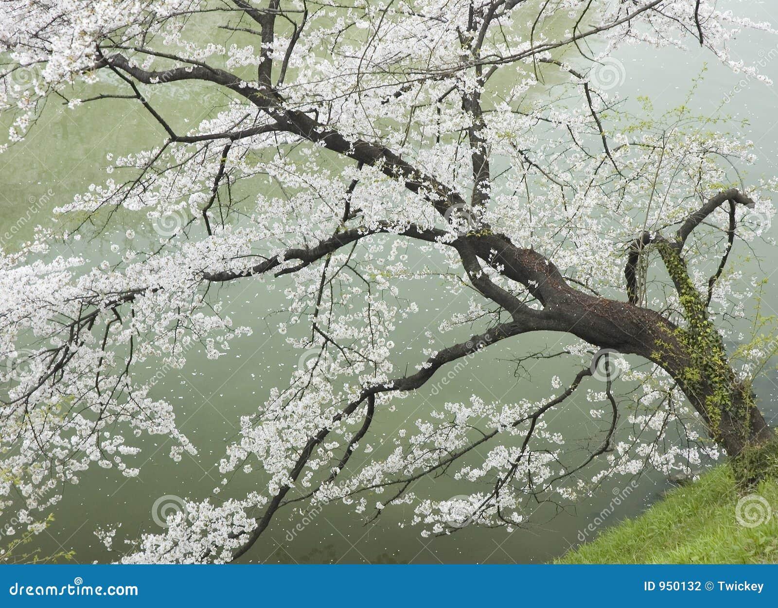 Árvore de cereja pelo rio