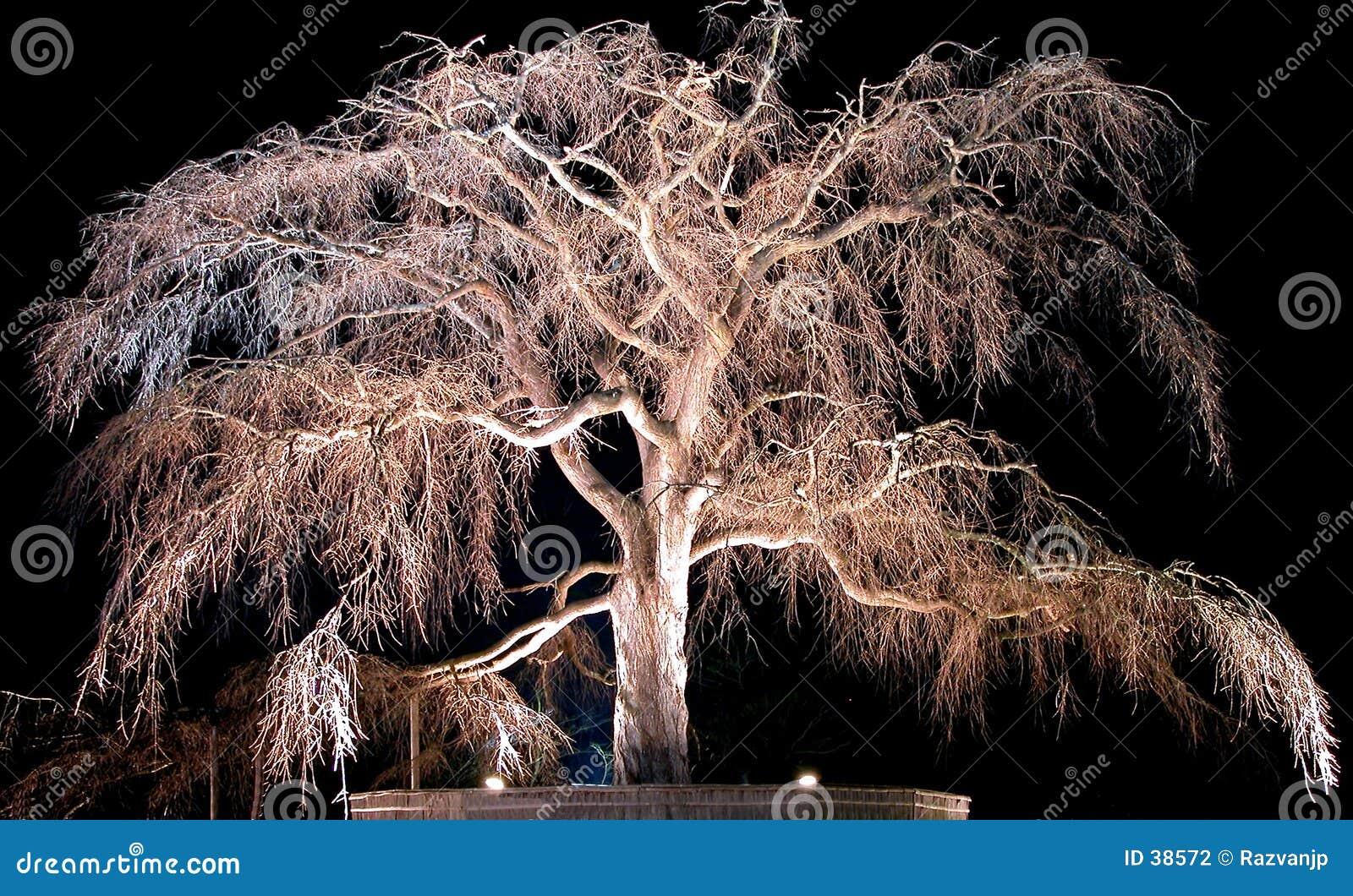 Árvore de cereja velha da noite