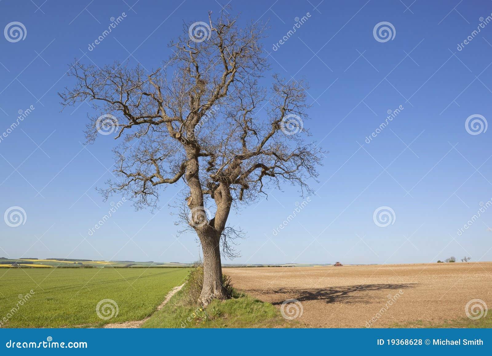 Árvore de cinza velha