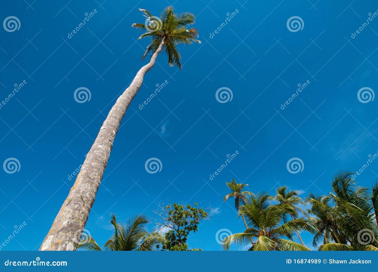 Árvore de coco alta