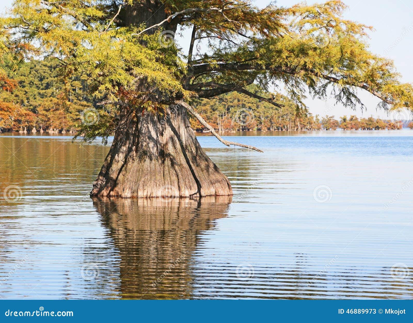Árvore de Cypress