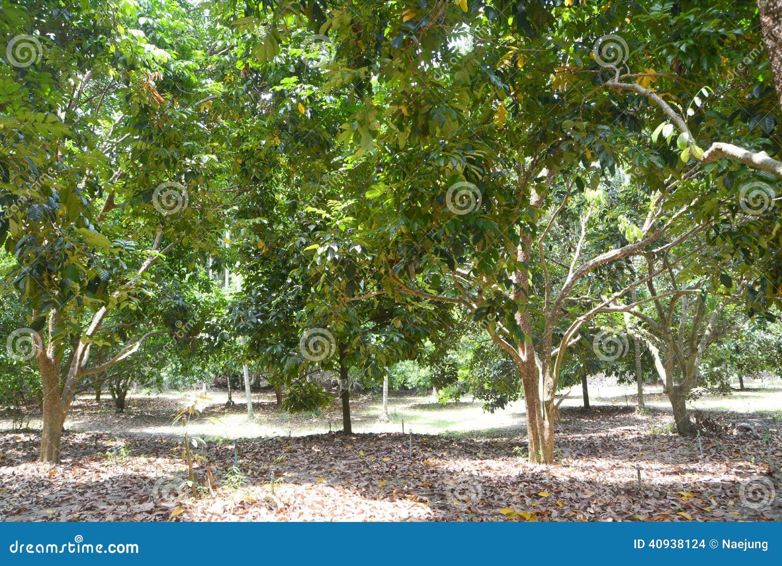 Árvore de Durian