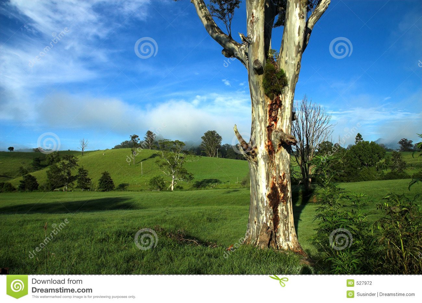 Árvore de eucalipto em uma paisagem do país
