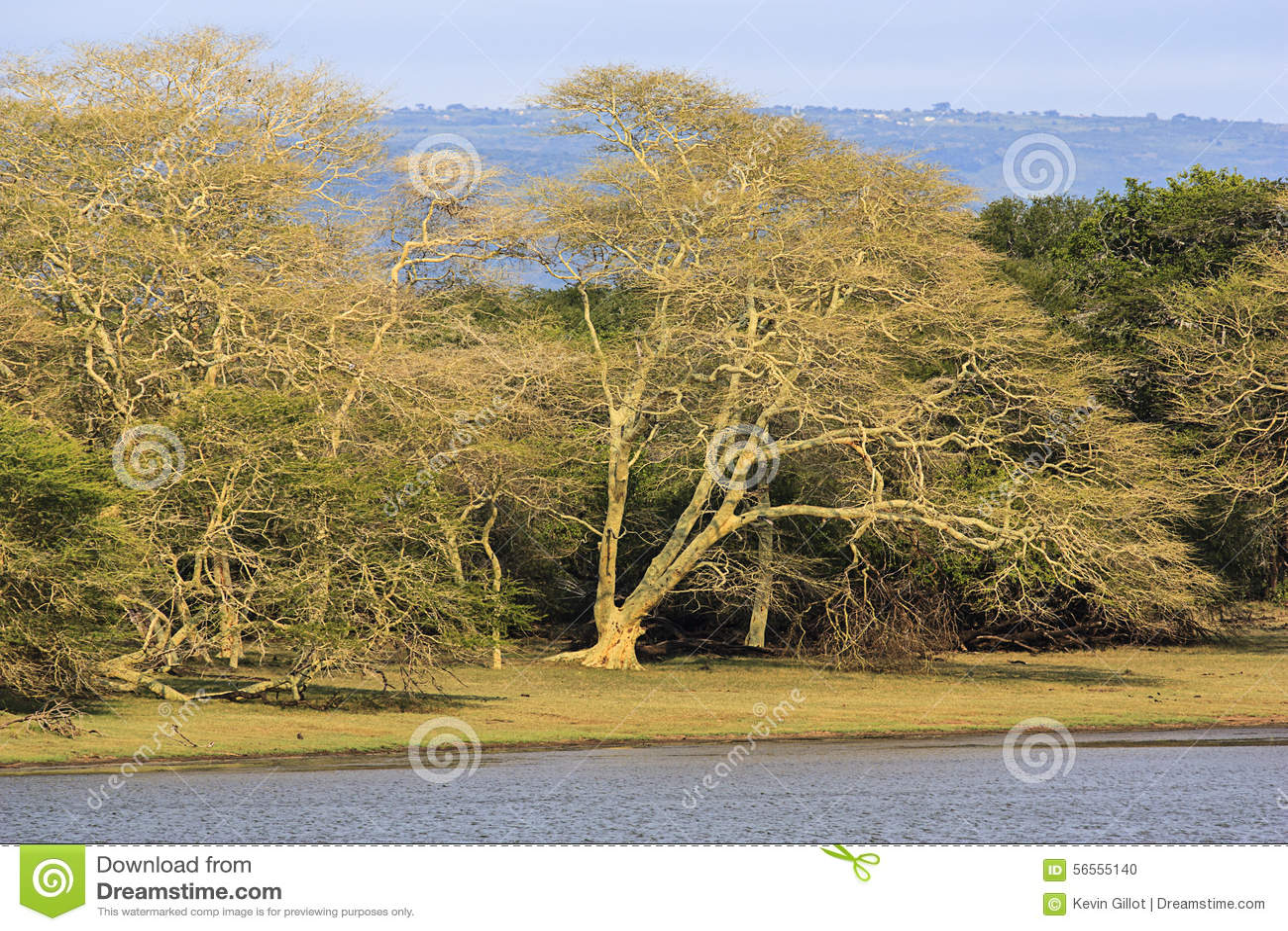 Árvore de febre Forrest