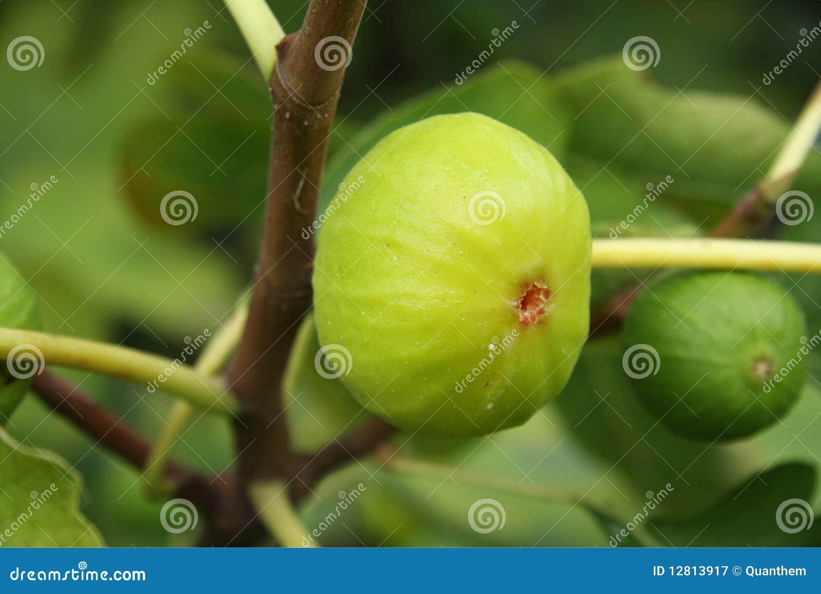 Árvore de figo, close-up