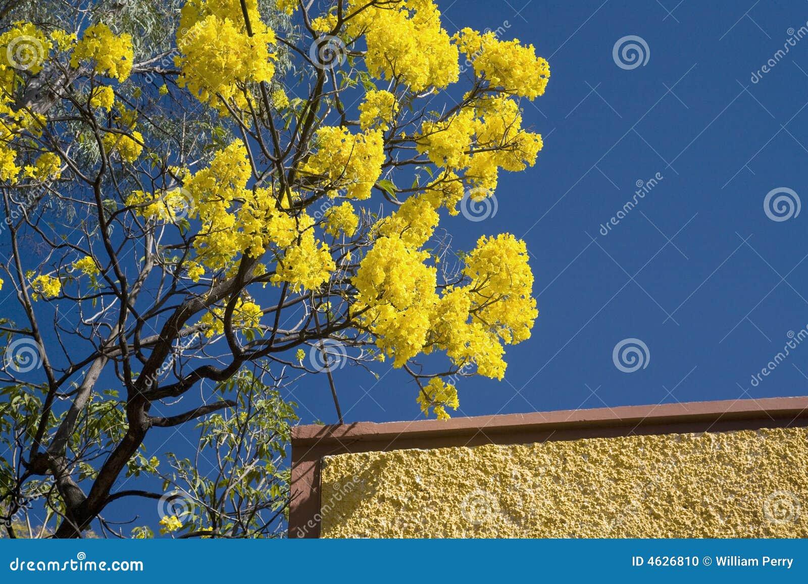 Árvore de florescência amarela de Tabebuia